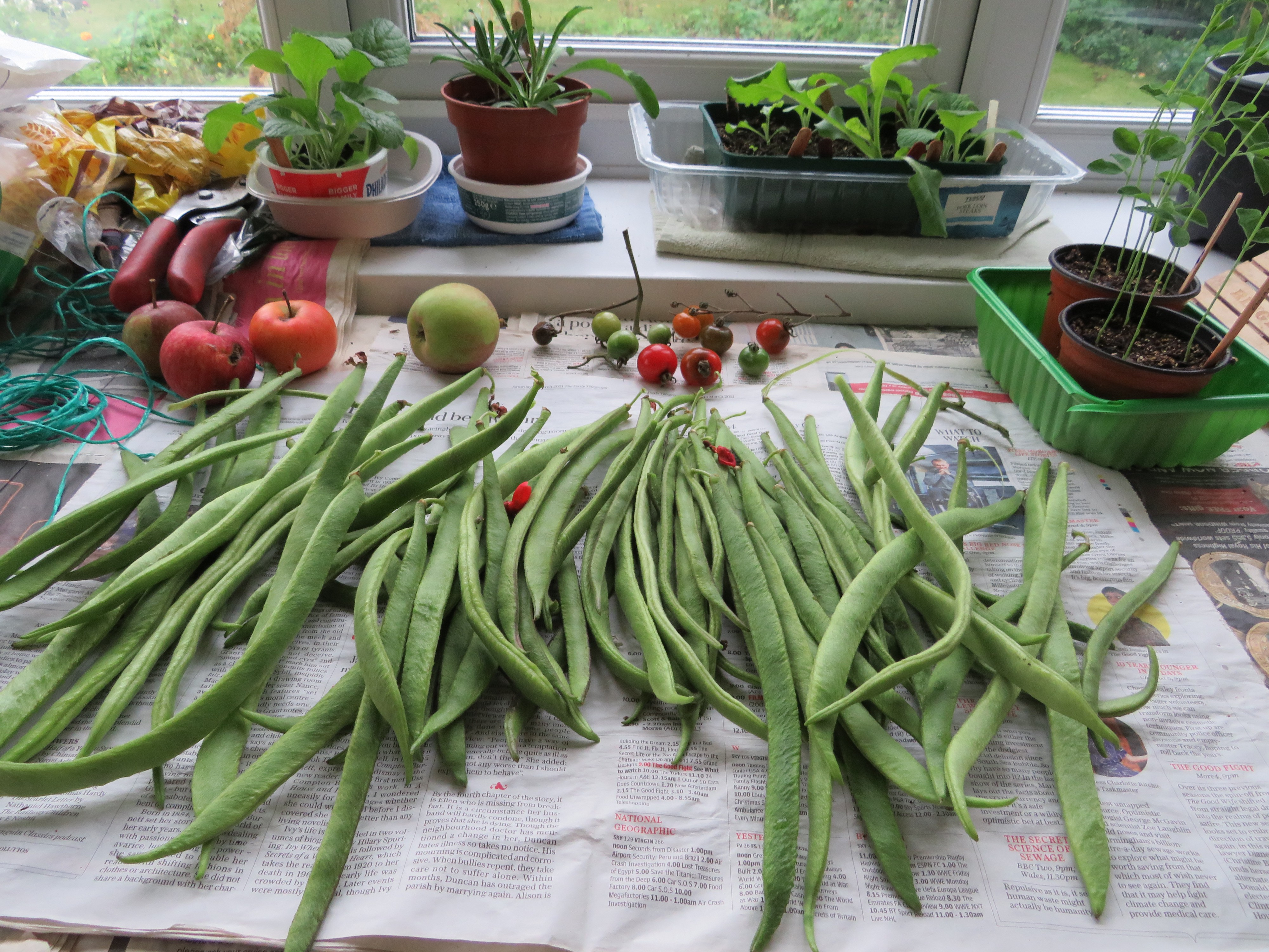 A harvest to runner beans laid out on newspaper below a window.