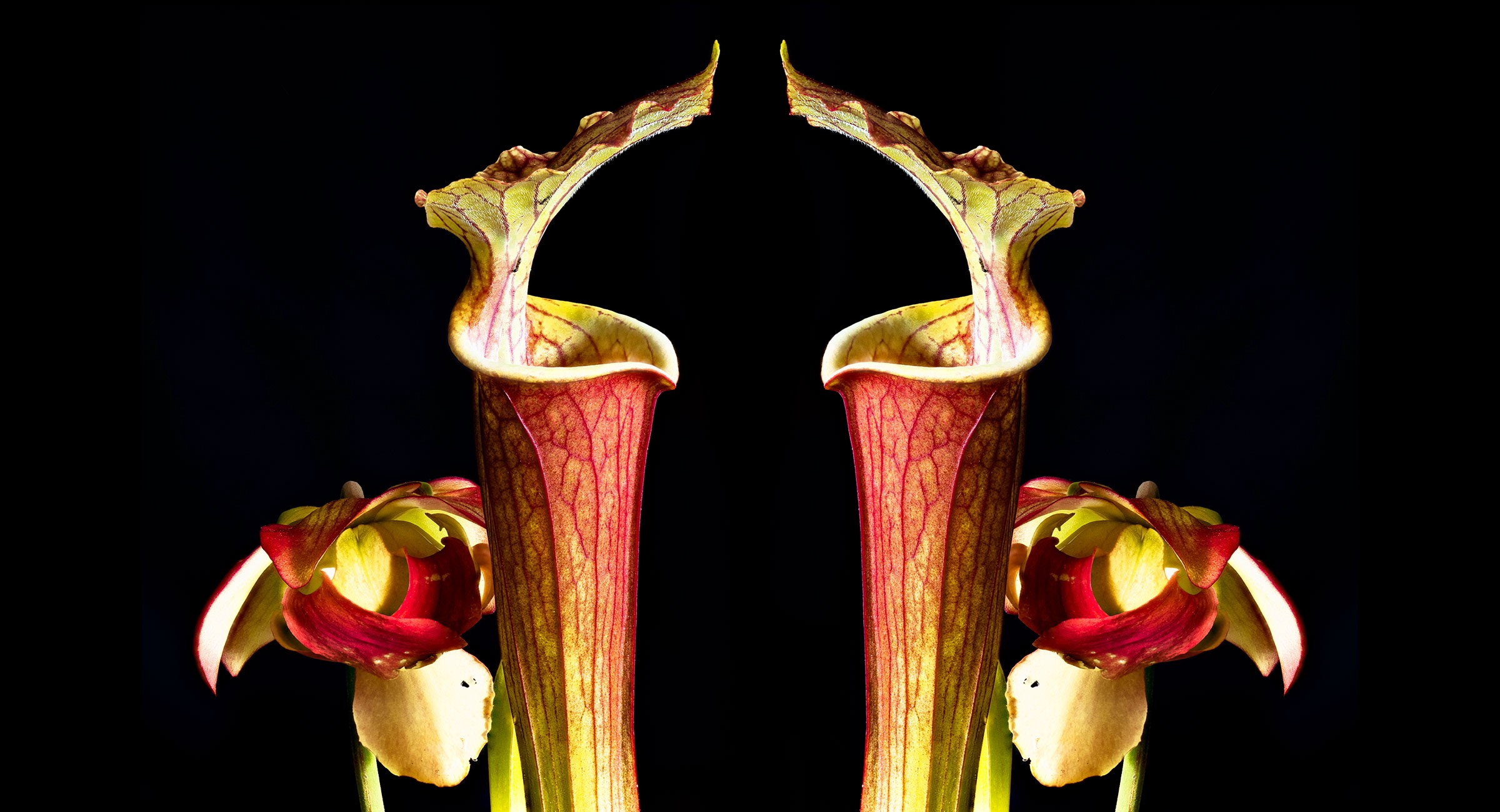 Carnivorous Plants Are Now More Por Than Ever The Lily