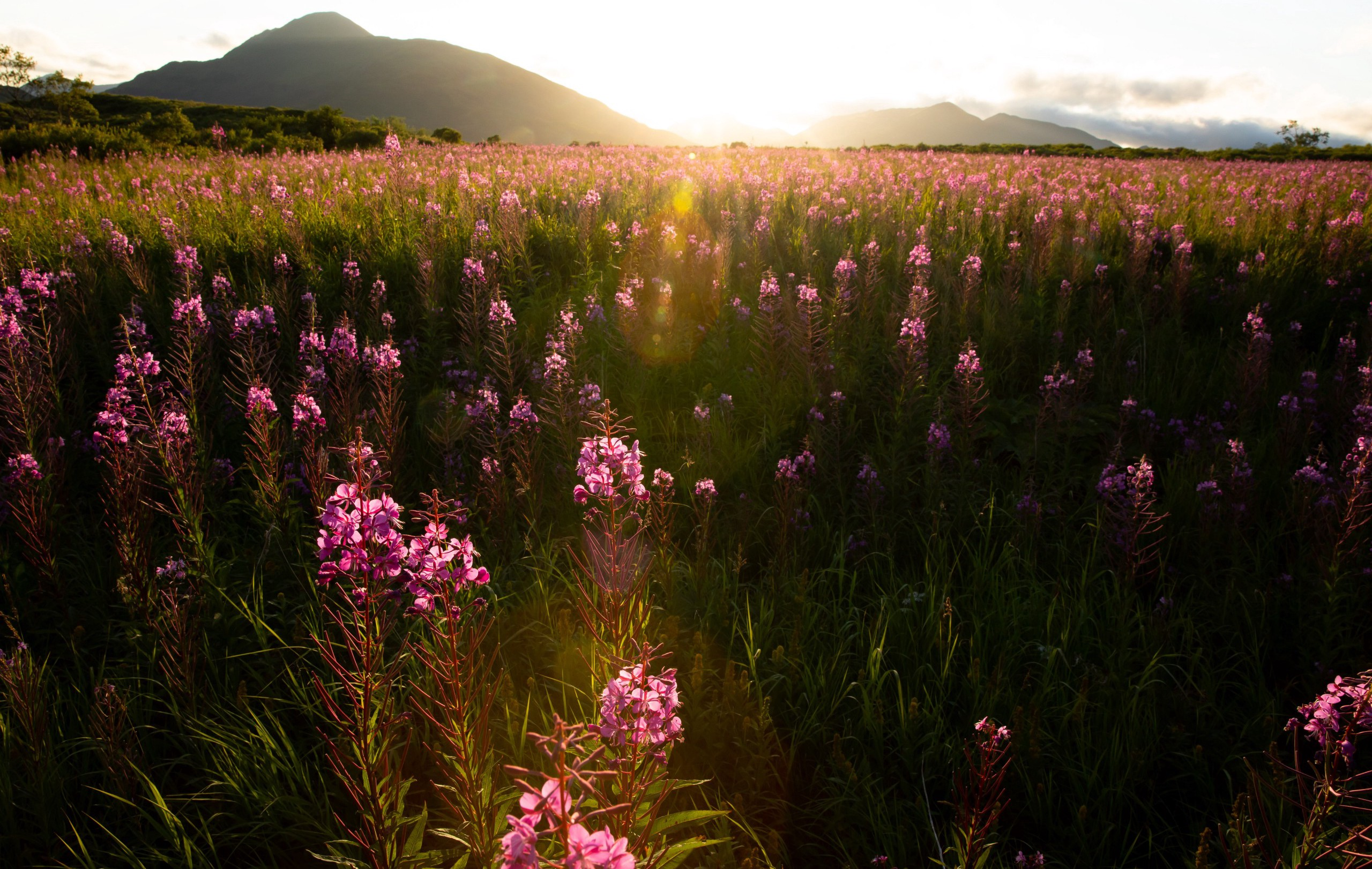 fireweed field at sunset, Kodiak National Wildlife Refuge