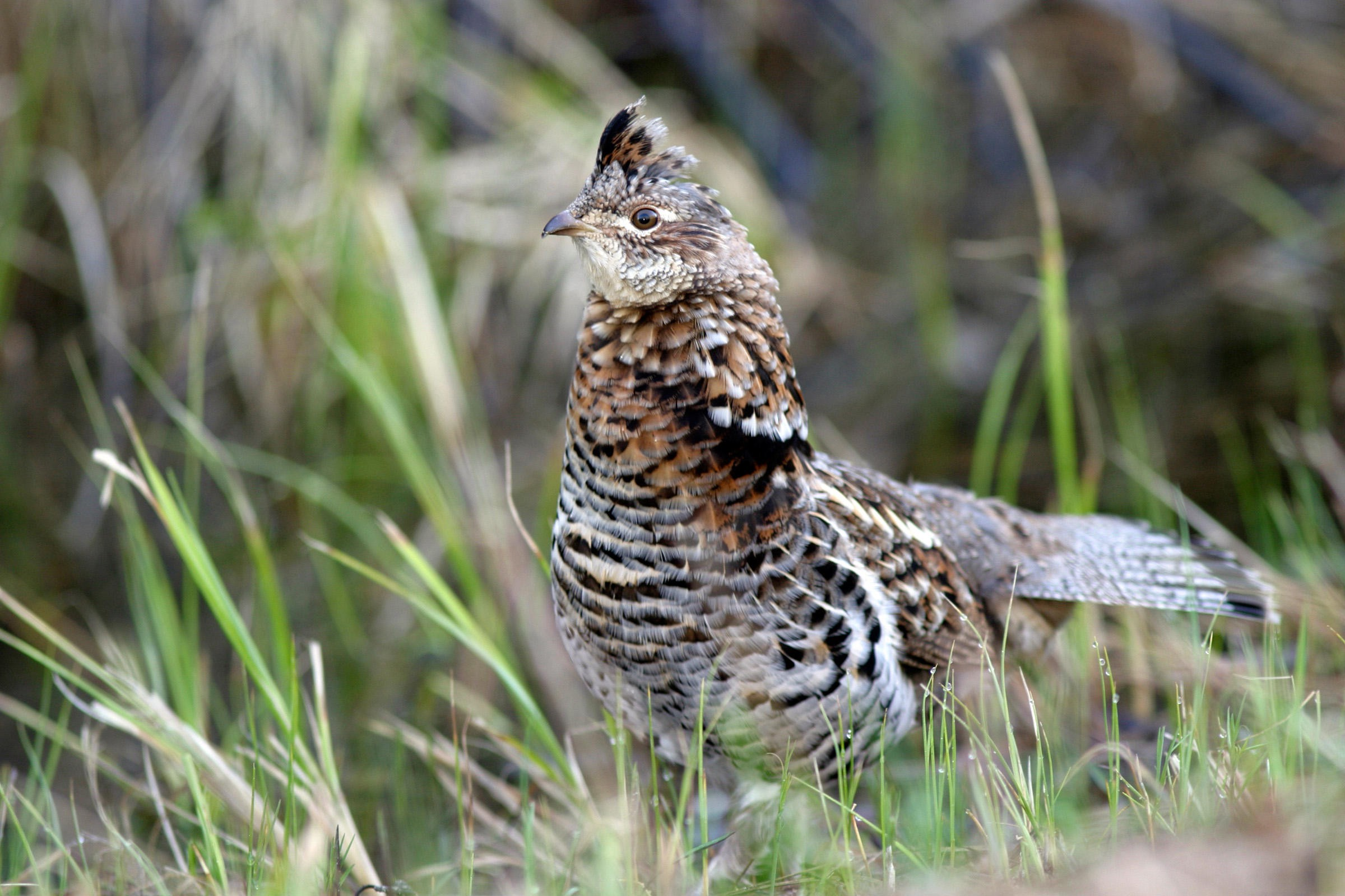A ruffed grouse stands at alert.