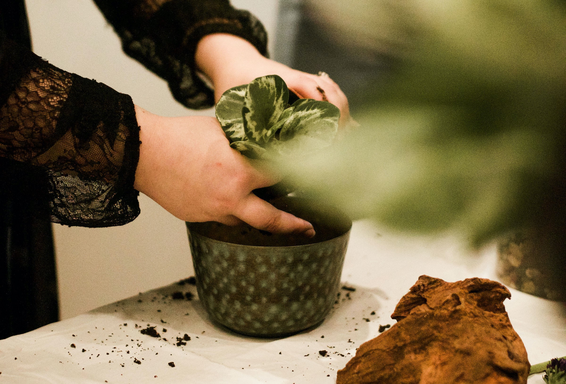 An image of Alida's hands potting a green plant  on top of a table with white tablecloth framed by other foliage.