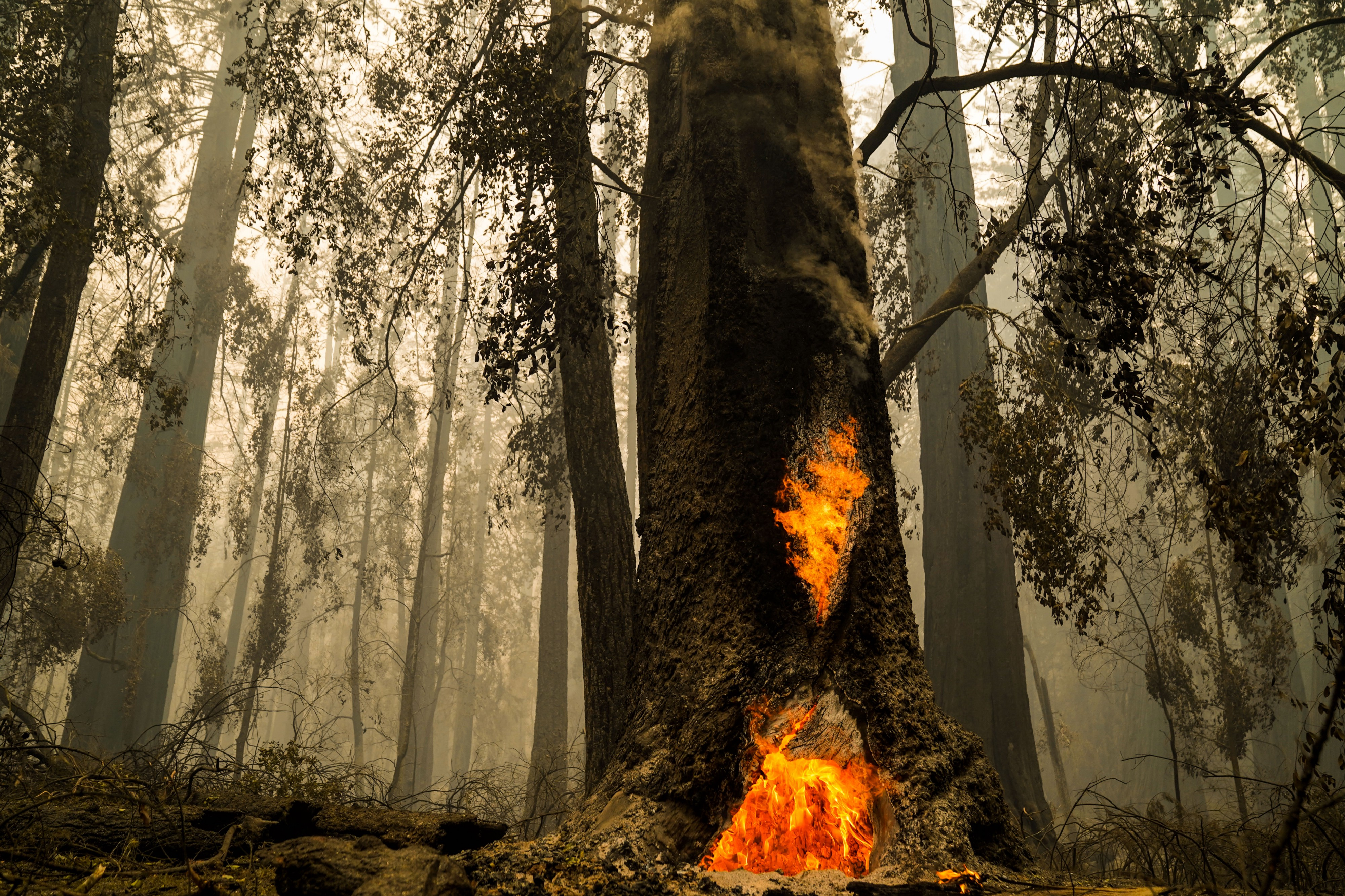 A redwood forest filled with smoke. The tree closest to the camera is on fire at its base.