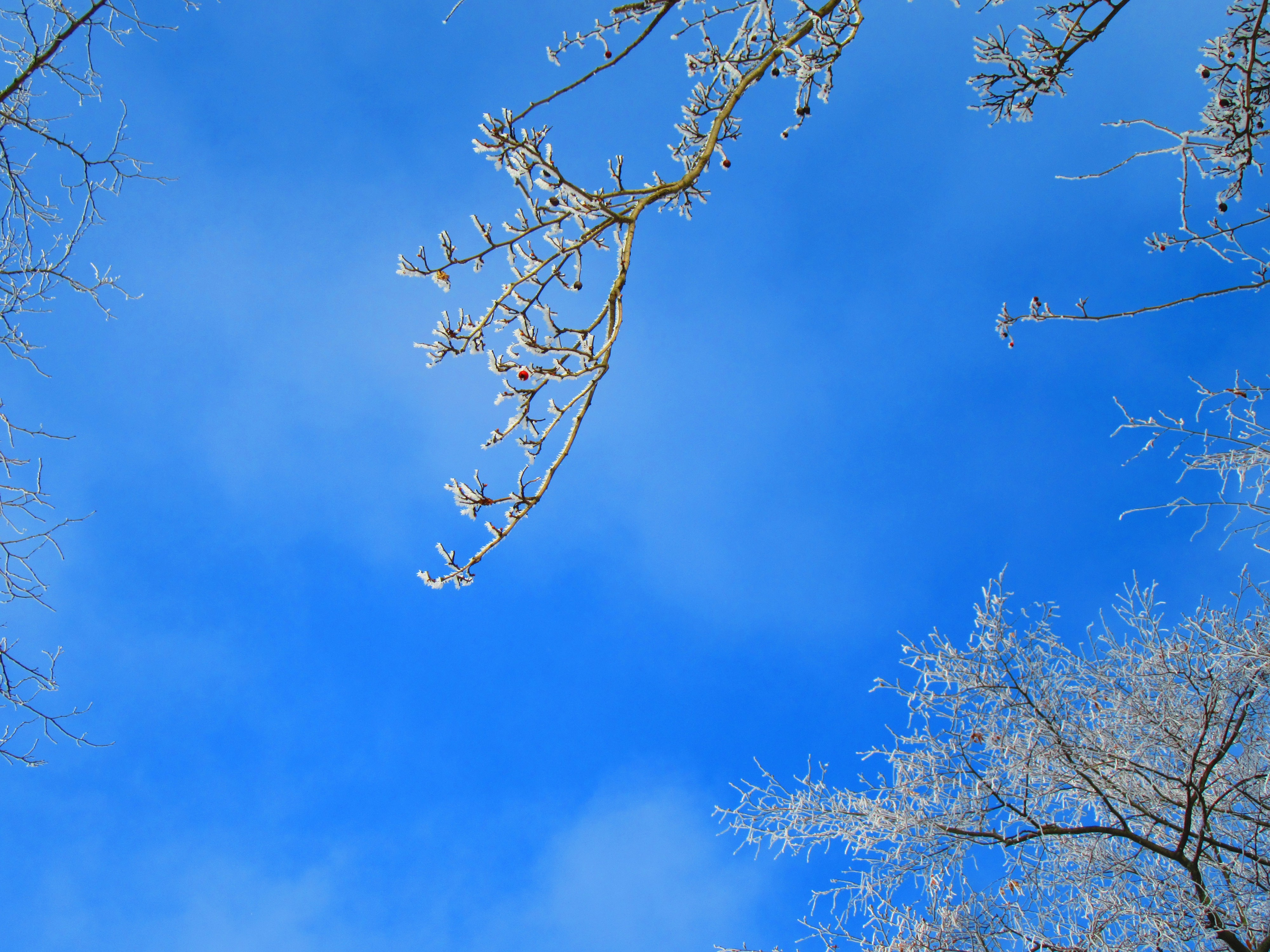 Looking up at the blue sky with tree branches coated in rime ice.