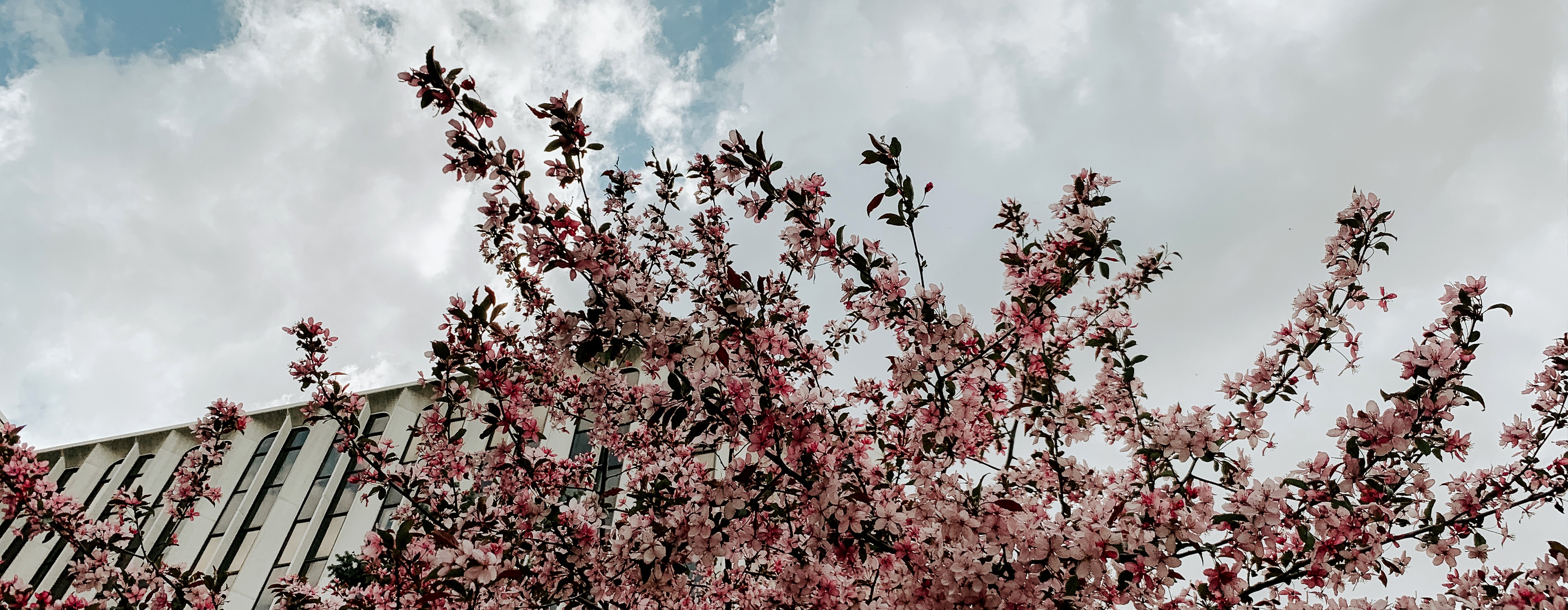 A flowering tree blooms in front of Hamilton Hall on City Campus
