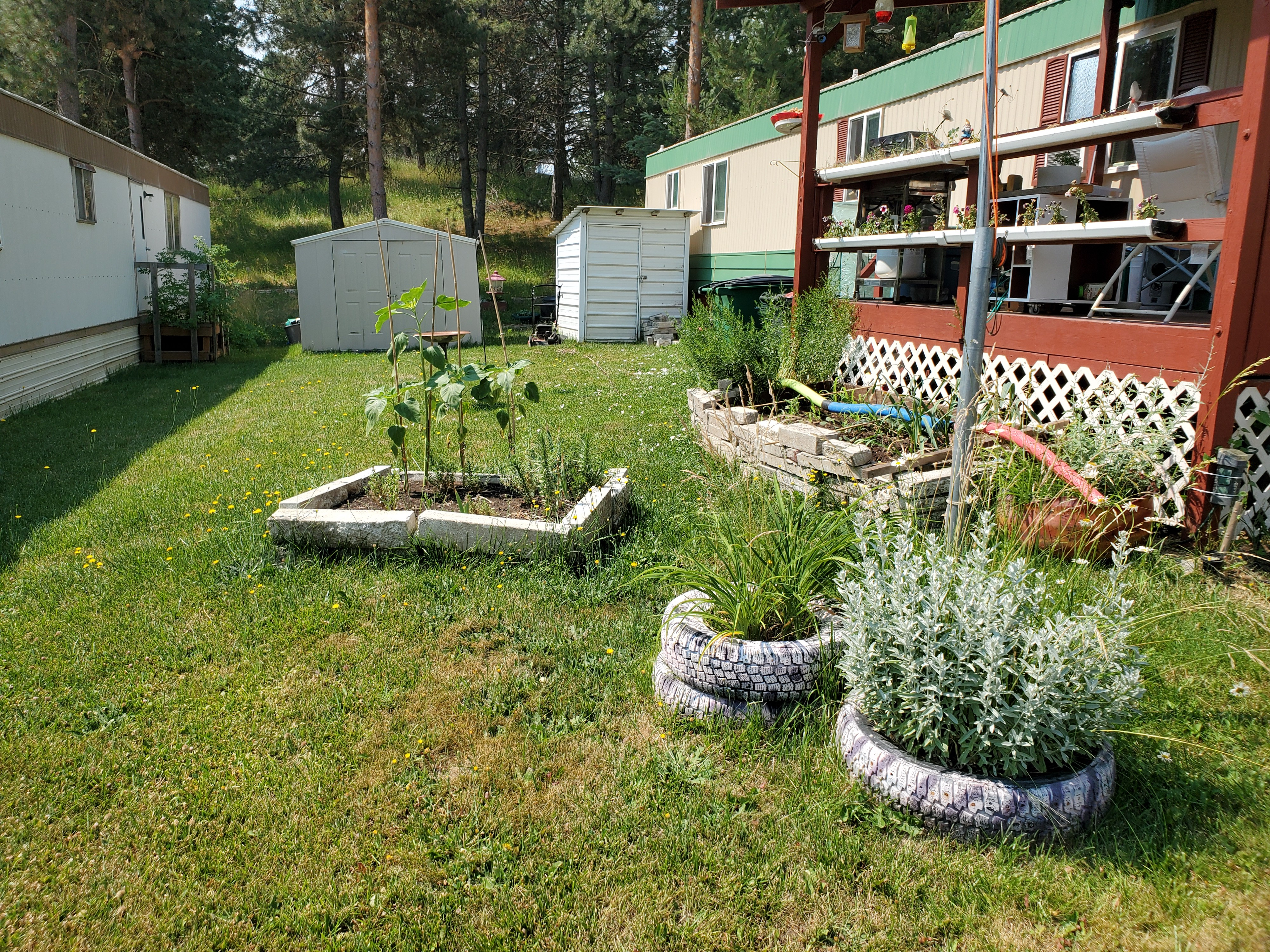 Yard in a mobile home park between two mobile homes with tire planters, raised beds made from concrete bricks and yellow wildflowers growing in the lawn.
