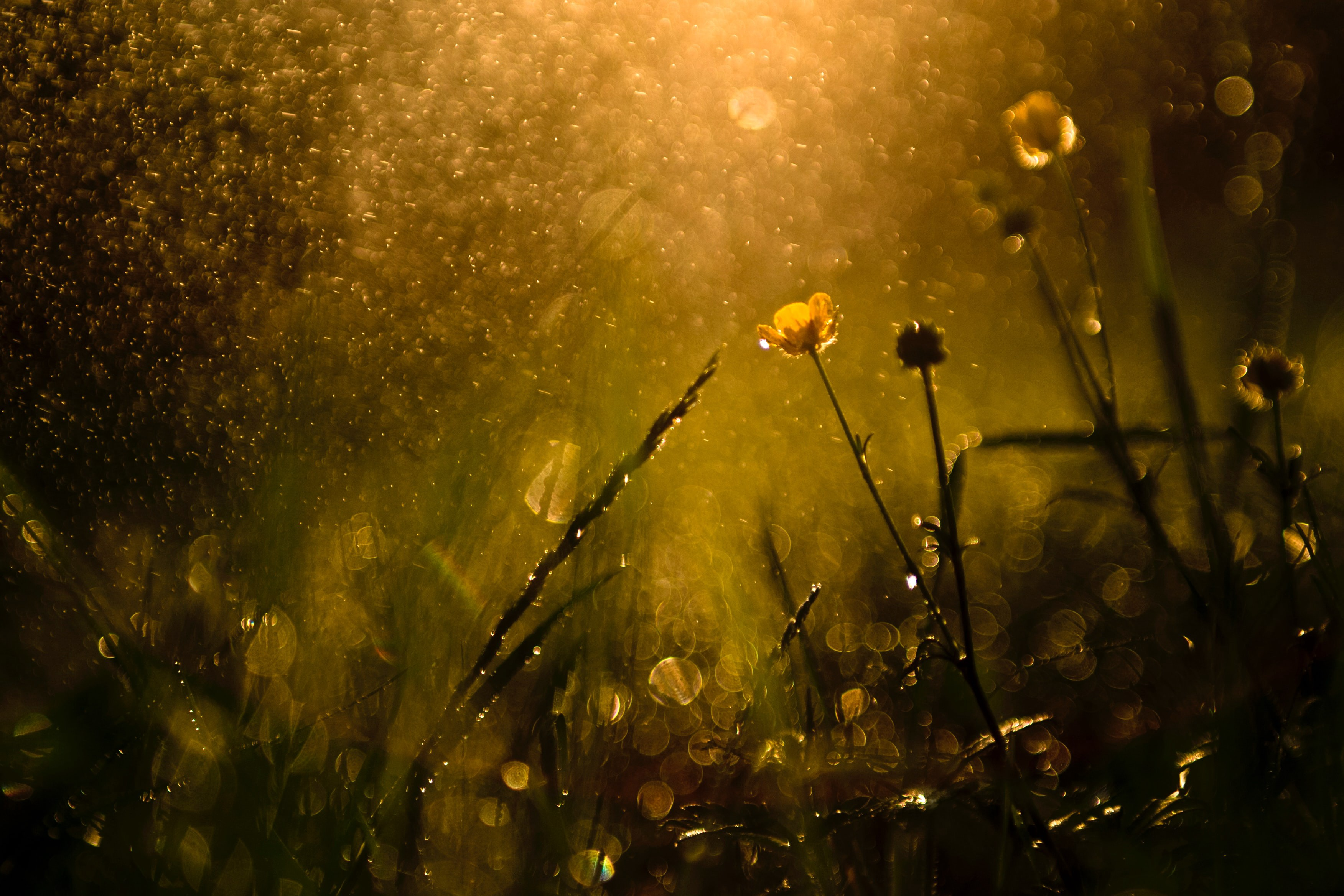 Honey hued meadow of sunlight, shadows and dew.