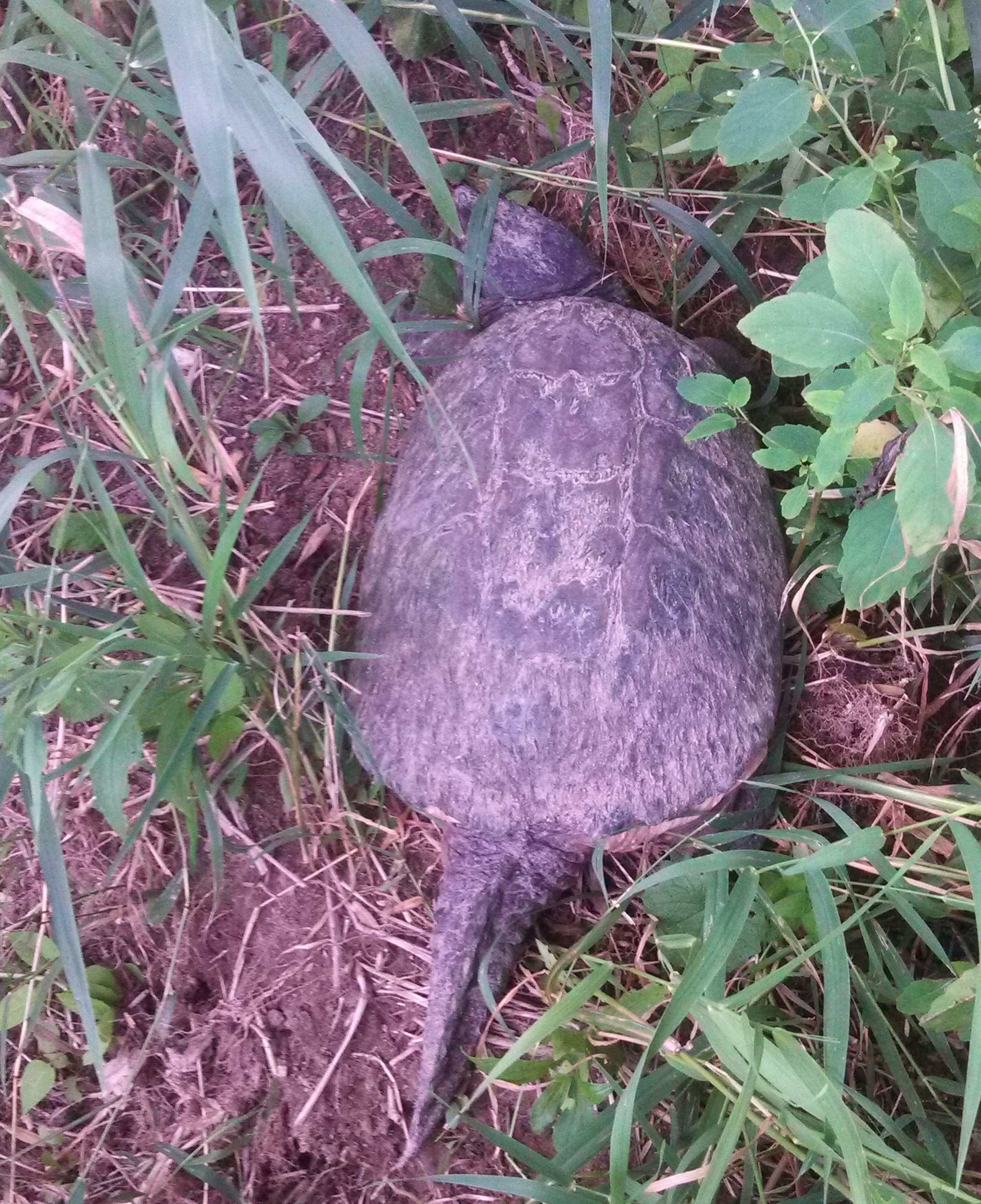 Large snapping turtle surrounded by weeds.