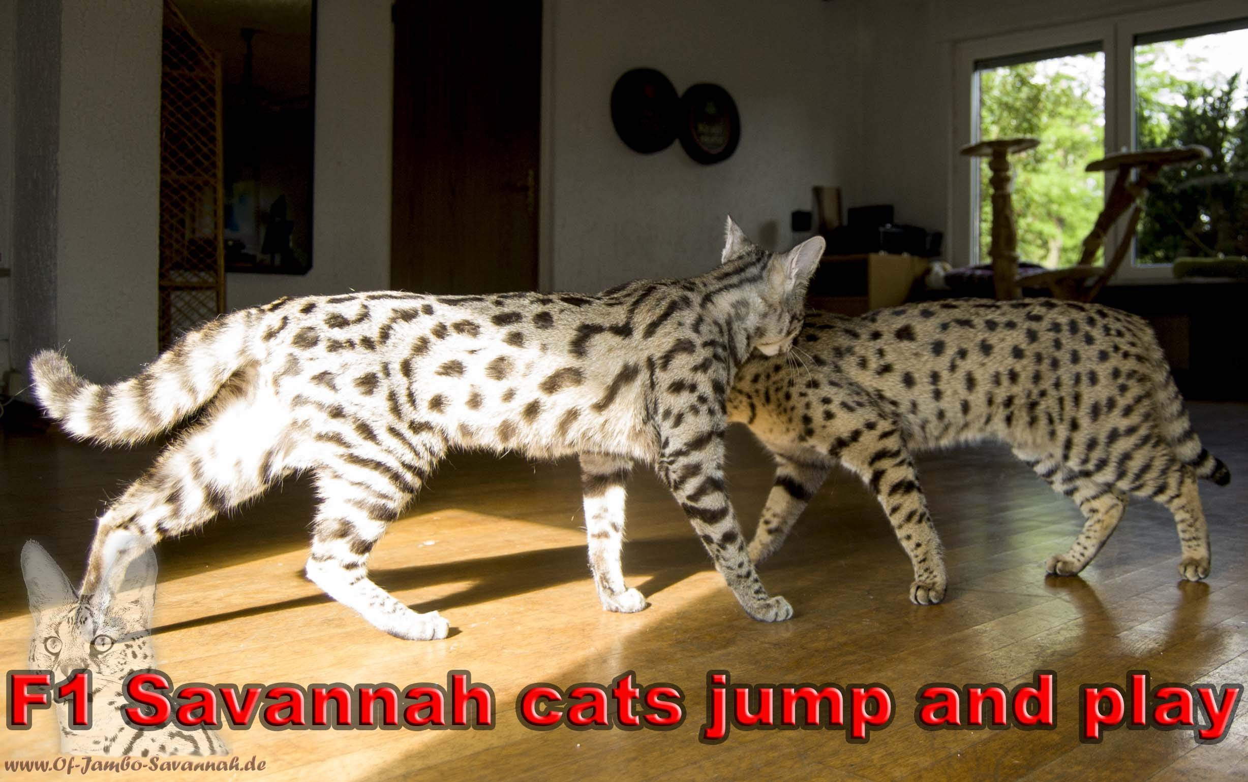 Savannah Cat Tv F1 Savannah Cats Jump And Play By Cats N Things Medium