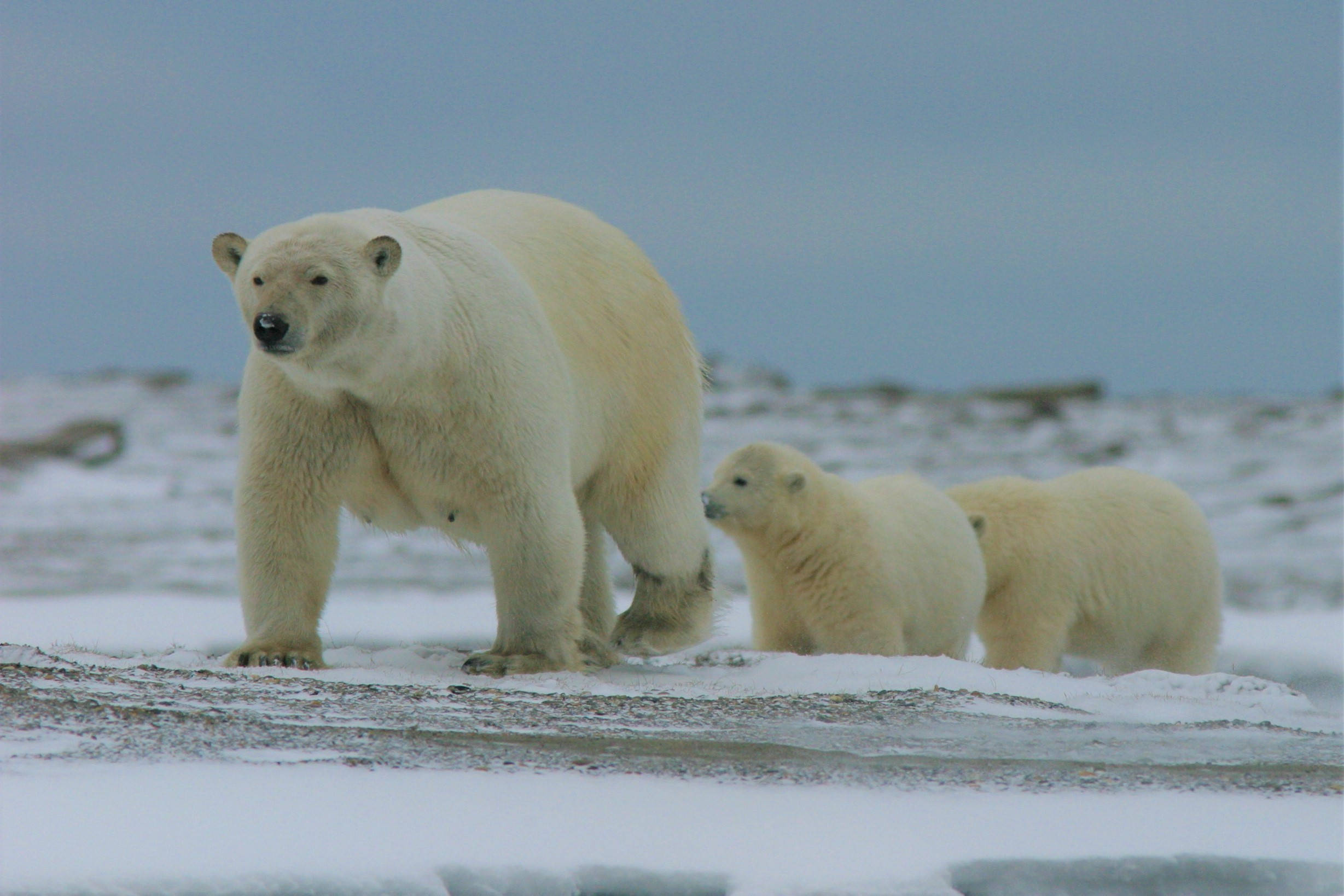 A polar bear with two cubs following her over the snow.