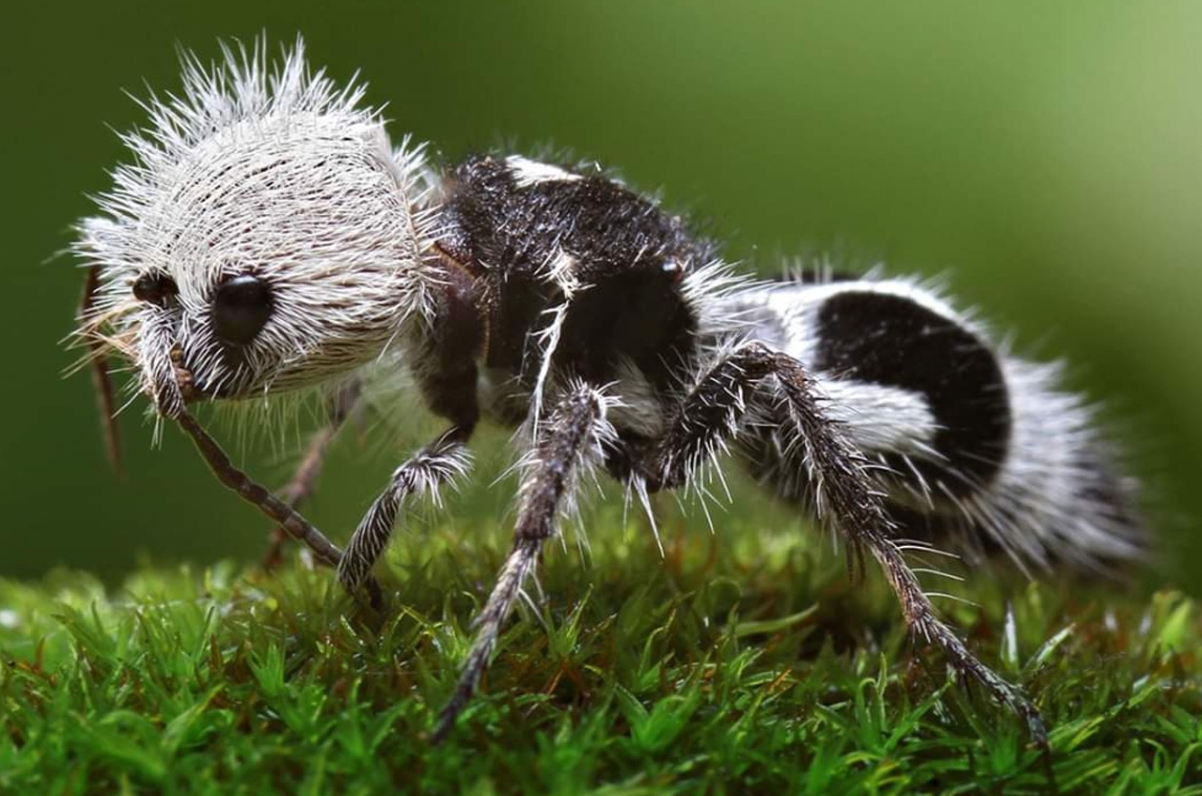 a close up of a fuzzy ant that is colored in a black-and-white pattern similar to a panda