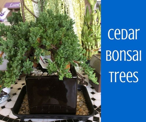We Are Taking Pre Orders For Bonsai Trees They Sell Out So By Deer Park Cares Homes Medium