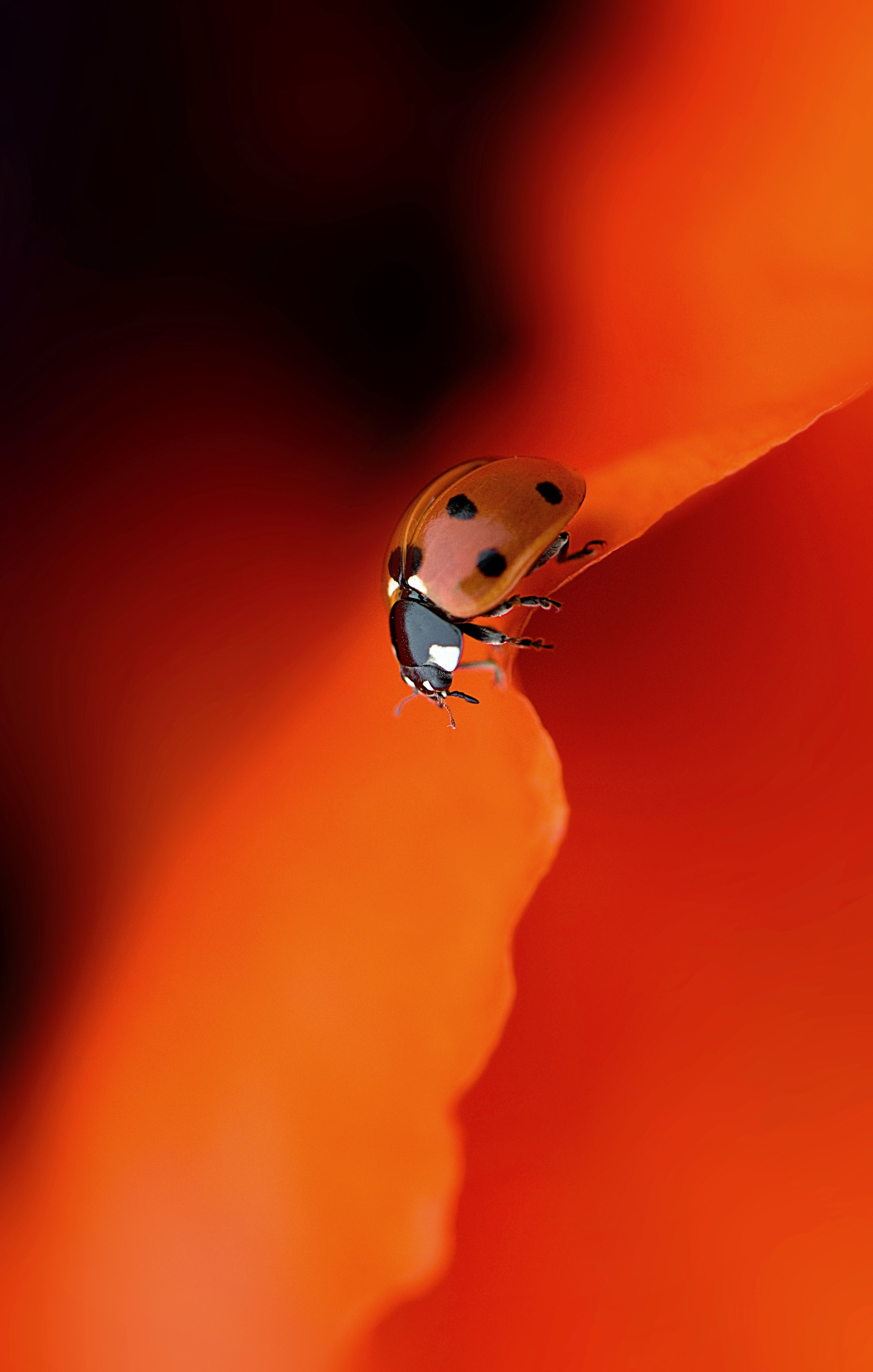 A striking red and orange closeup photo of a ladybug descending the edge of an orange poppy leaf