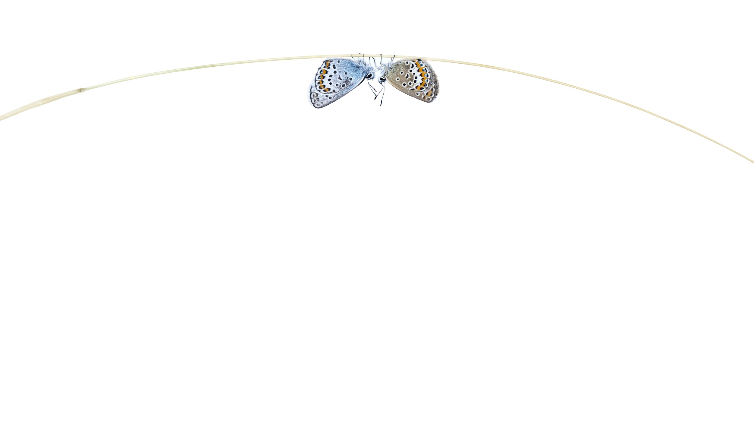 Two butterflies are photographed touching feelers, upside down hanging on something and on a bright white background