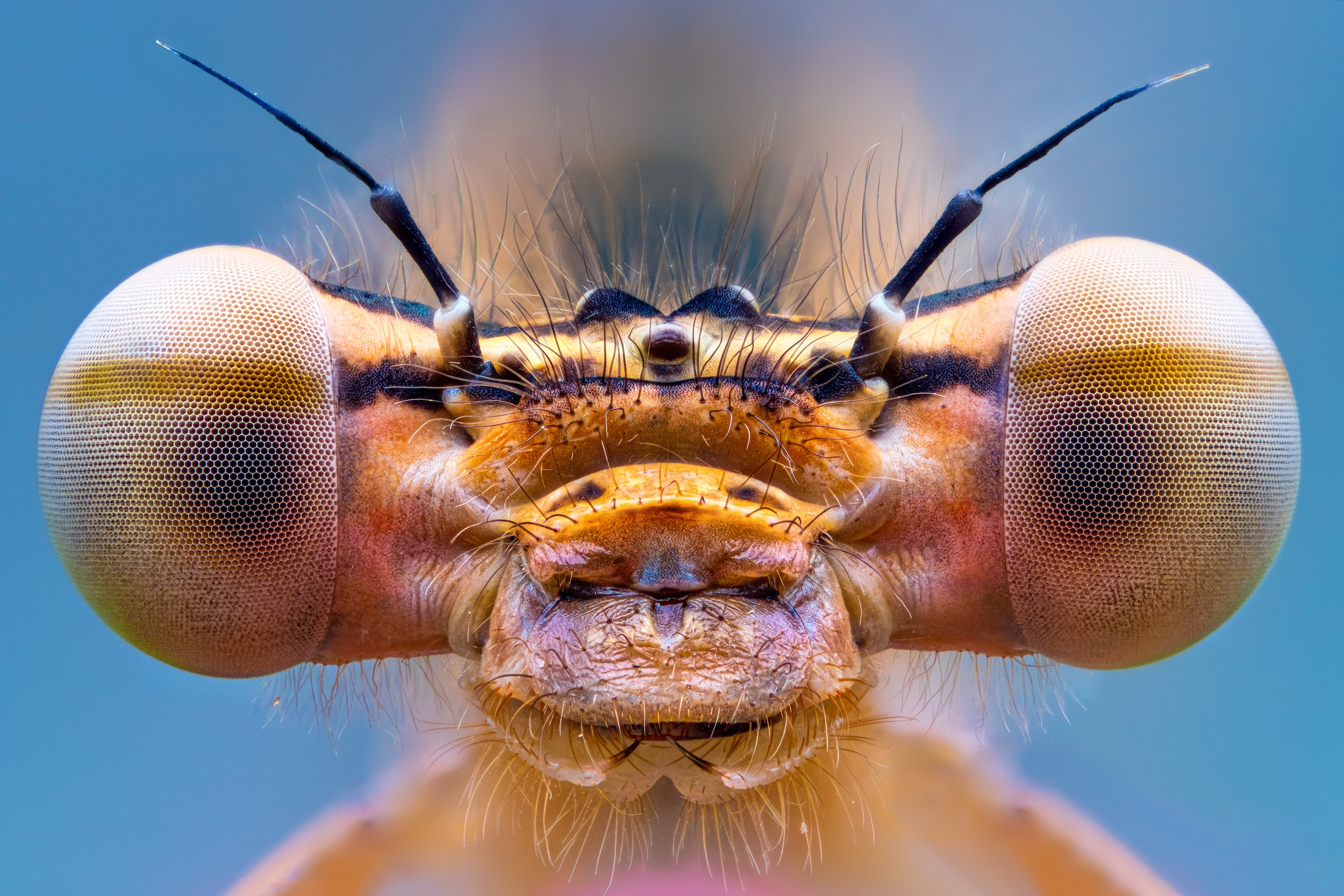 "A closeup shot of a bug's face with a lot of character, showing two big bulbous ""eye"" shapes jutting off to the sides"