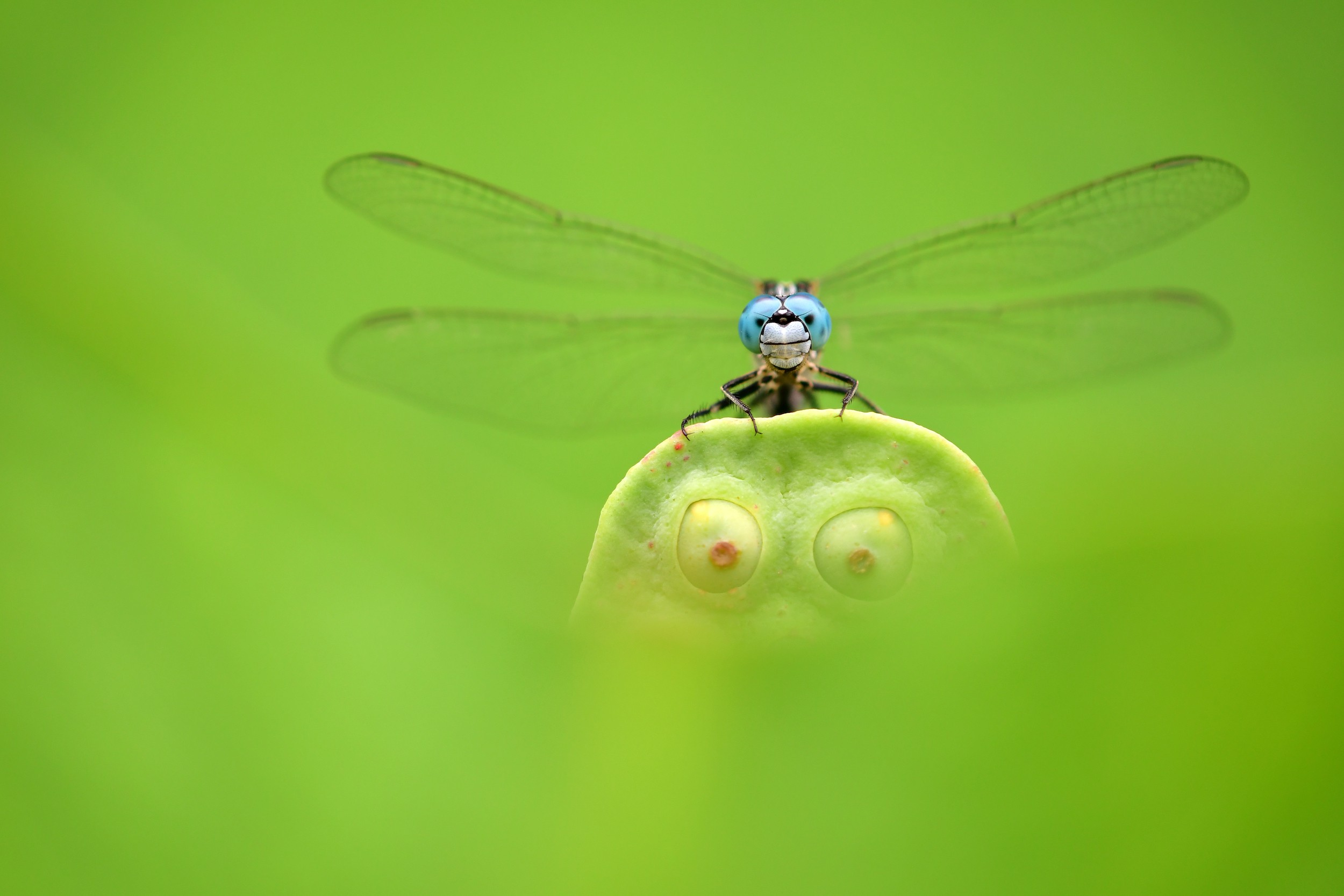 A photo of a small blue dragonfly stoping to take rest on a lotus seed pod that looks like a funny face