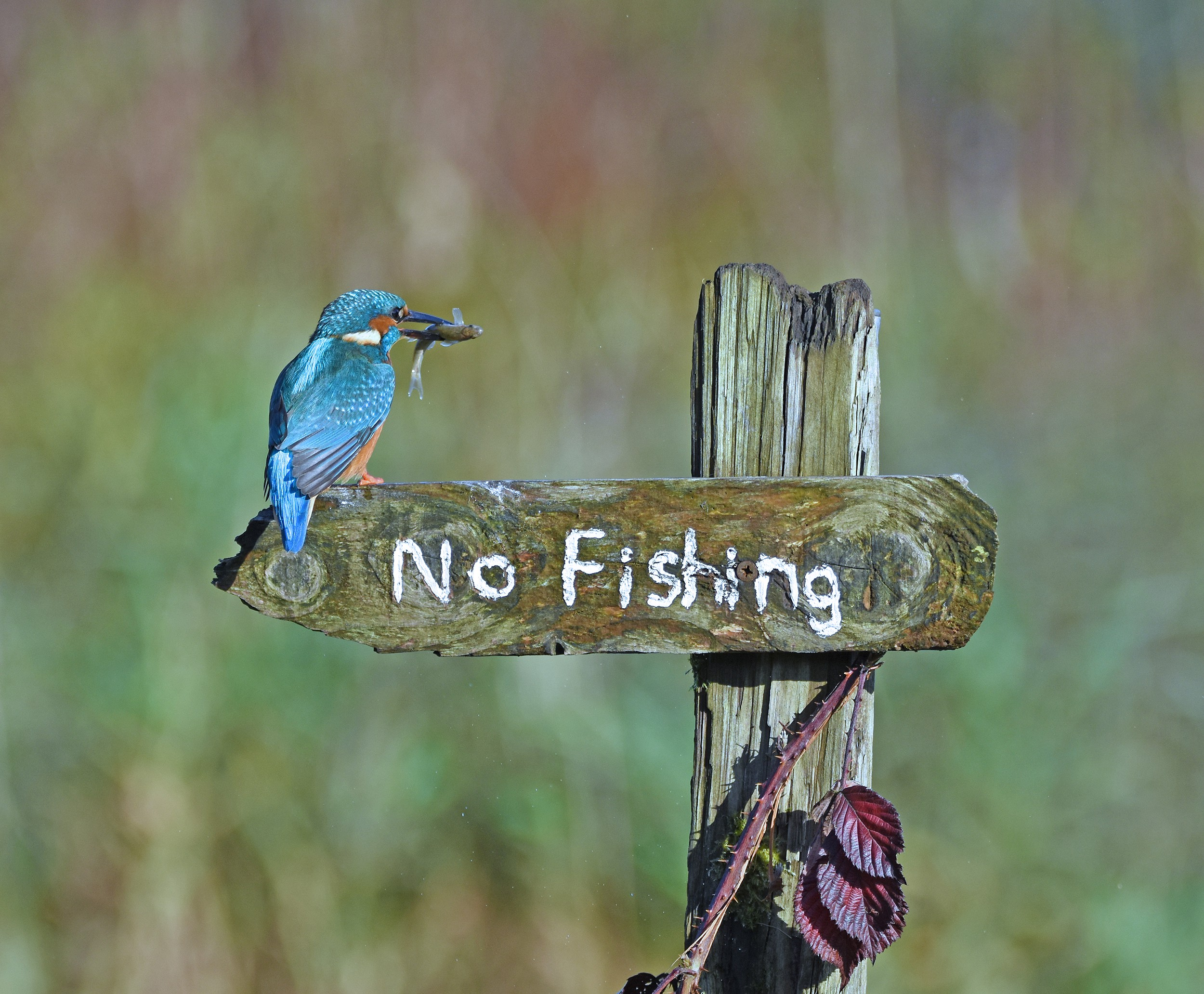 "A bright blue kingfisher is perched on a ""no fishing"" wooden sign with a small fish dangling out of his beak"