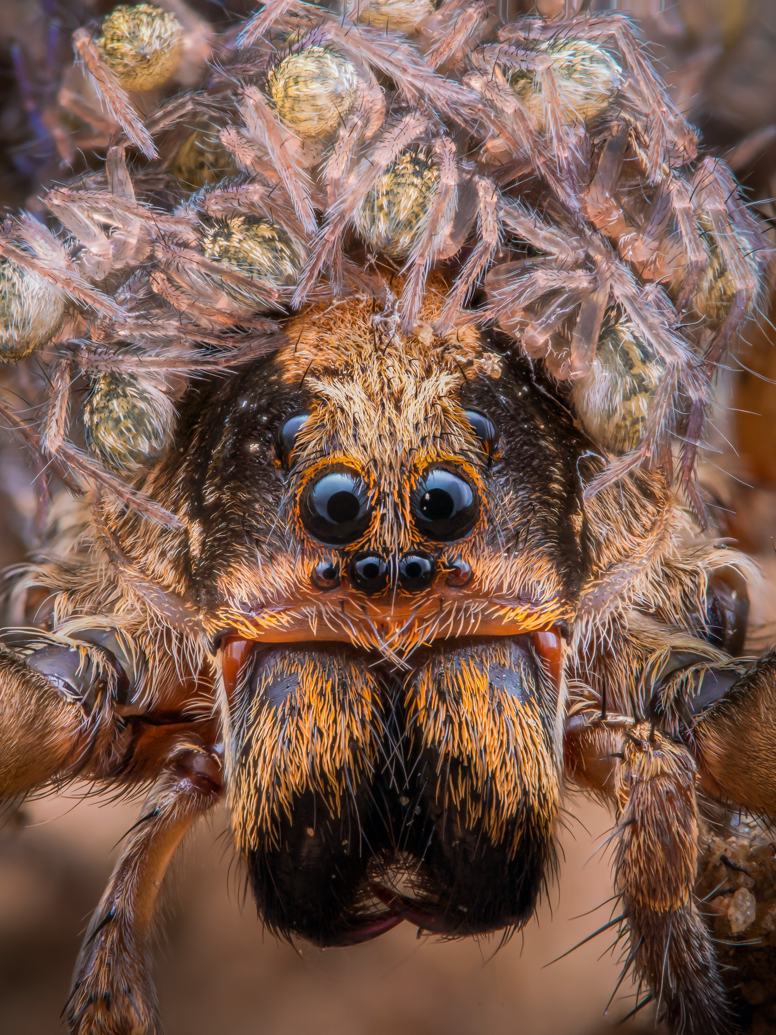 A wolf spider mother covered in baby spiders is pictured up close, her multi-eye head covered in tiny little versions
