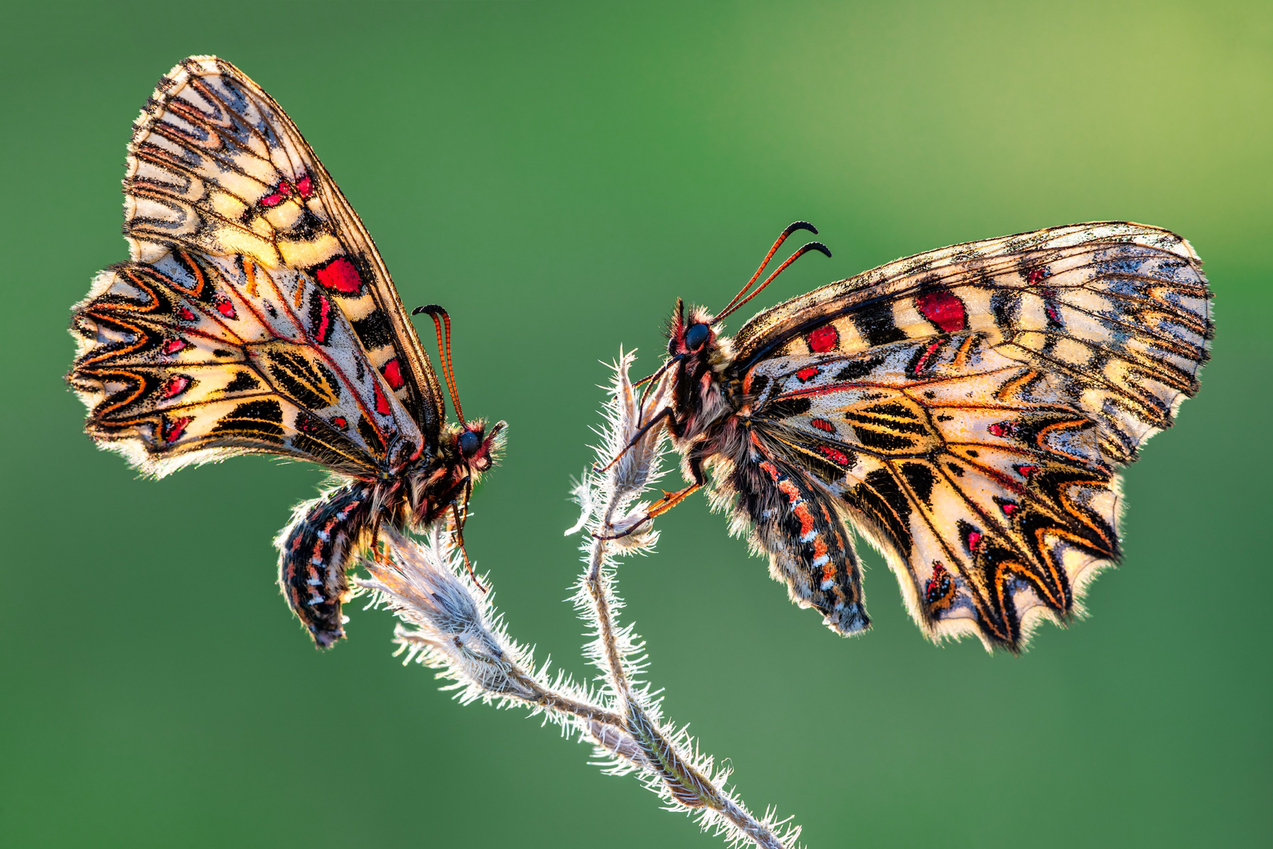 Two breathtaking butterflies are perched opposite each other, glowing with light and offset by a beautiful green