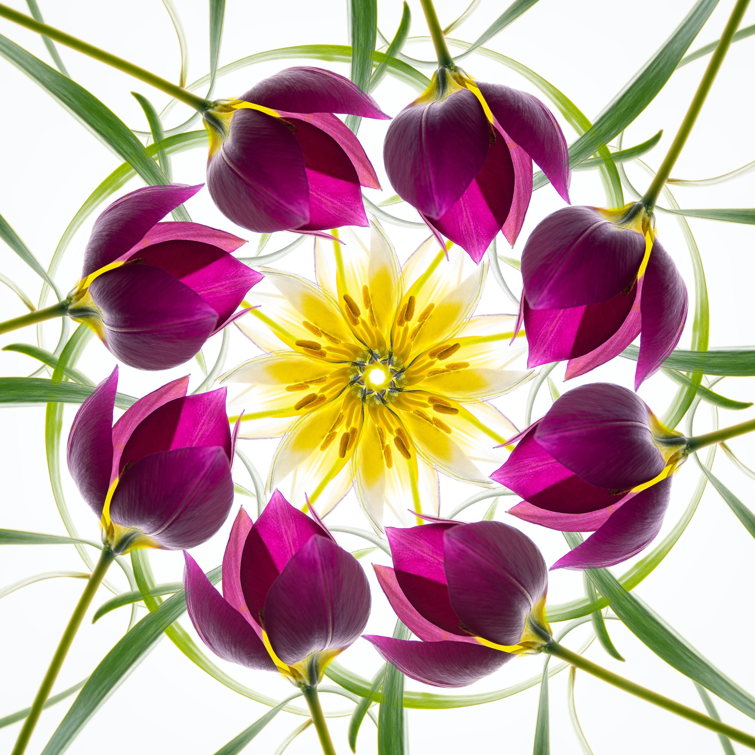A kaliedoscopic flower arrangement on a lightbox includes purple tulips encircling a yellow star-like flower