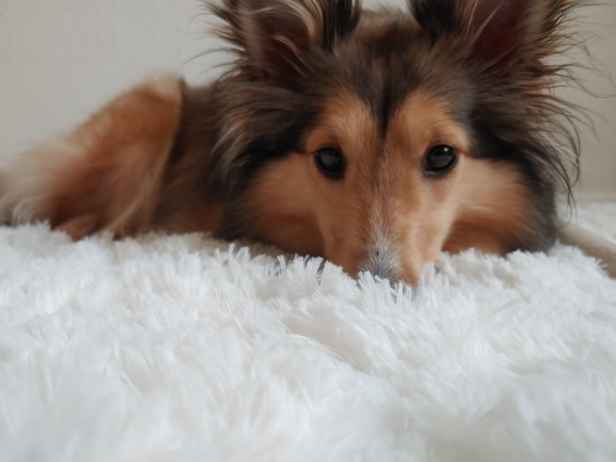 Life Lessons Taught By A Sheltie What Raising A Shetland Sheepdog Is Teaching Me About Life By Rin Hunter Medium
