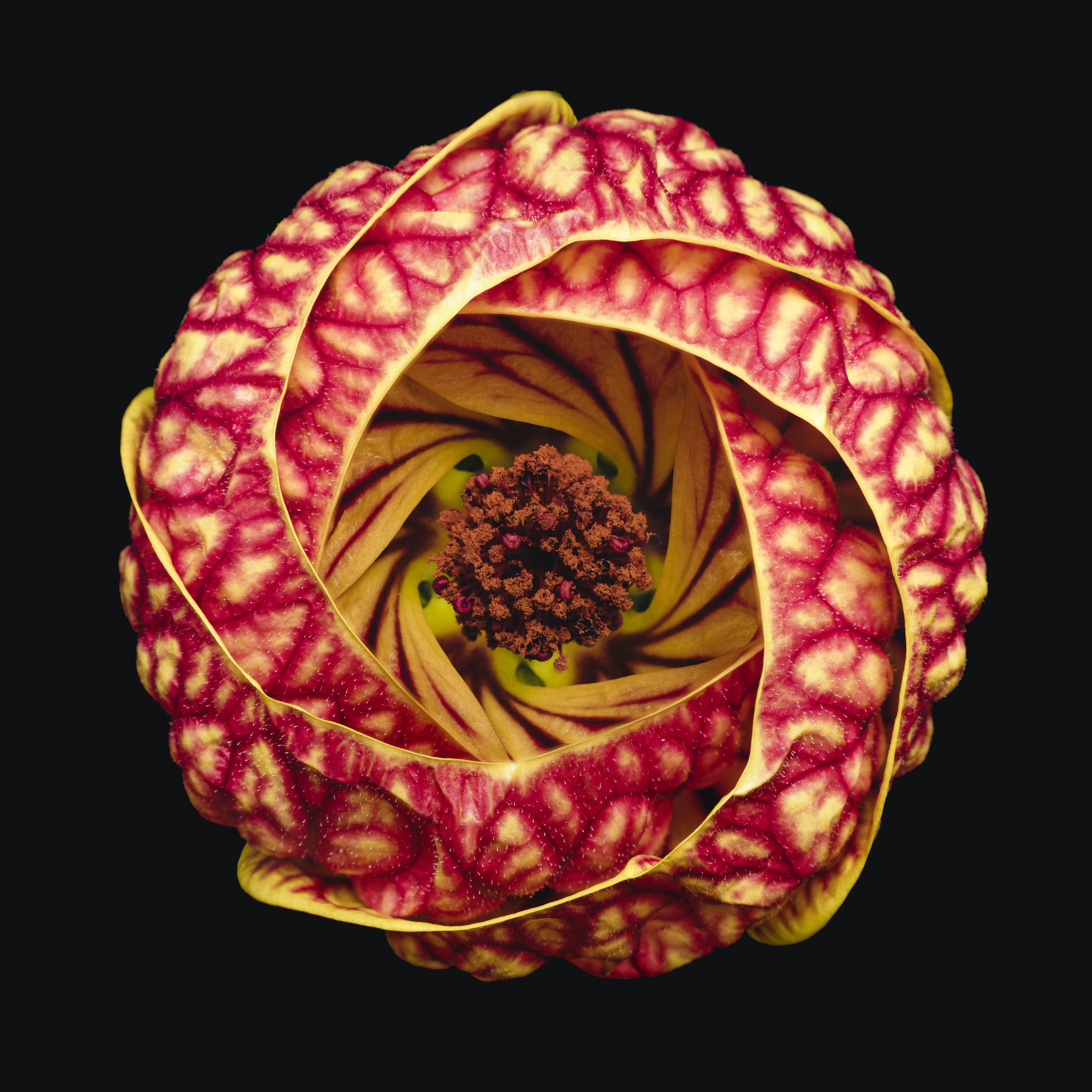 A flower is photographed with crystal-clarity from above, you can see a deep yellow interior and red/yellow patterned petals