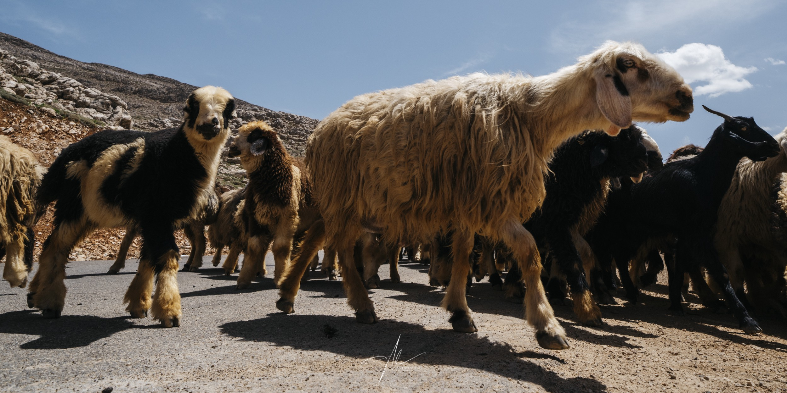 A massive flock of sheep crossing in the Zagros mountain highway, along with their Qashqai shepherds.