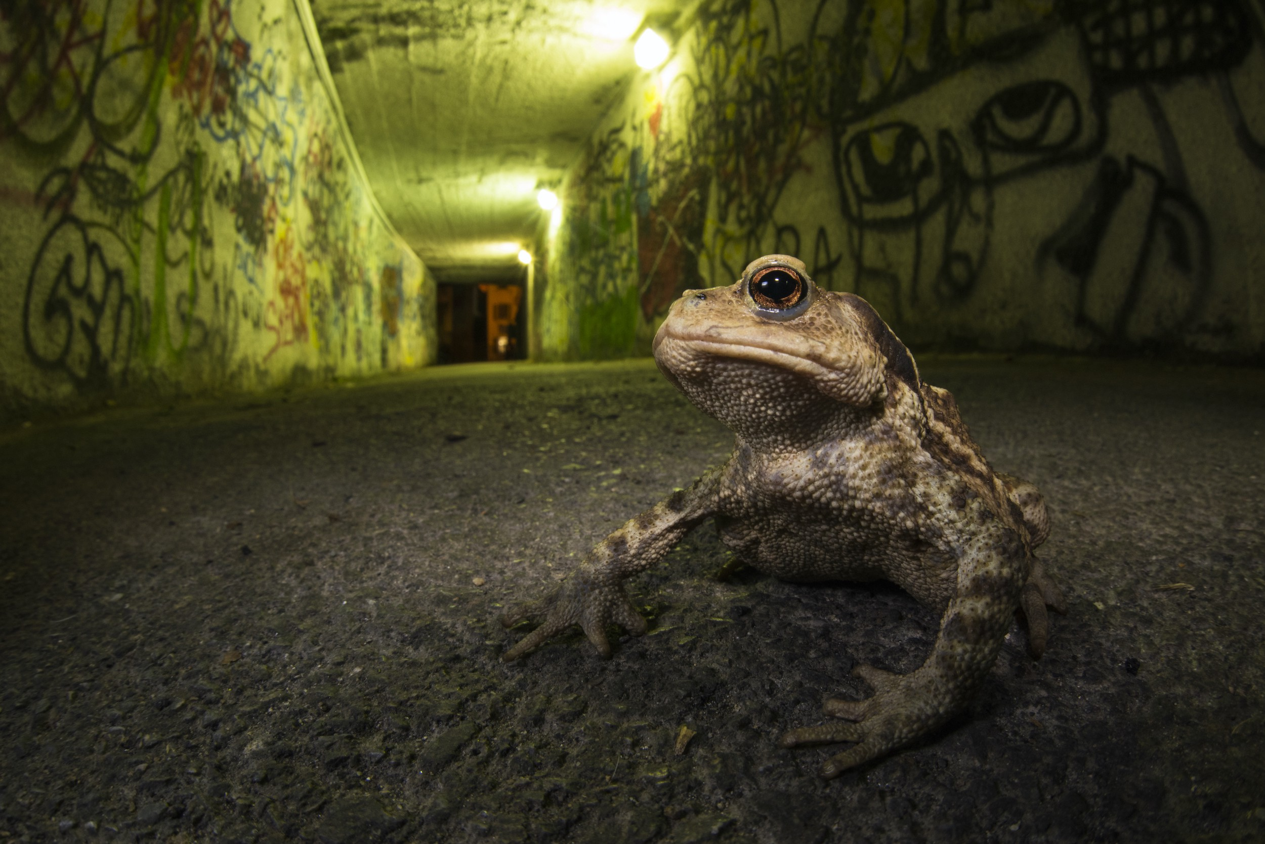 A toad, photographed at his own level, looks tough in a tunnel lit with yellow light and covered in graffiti