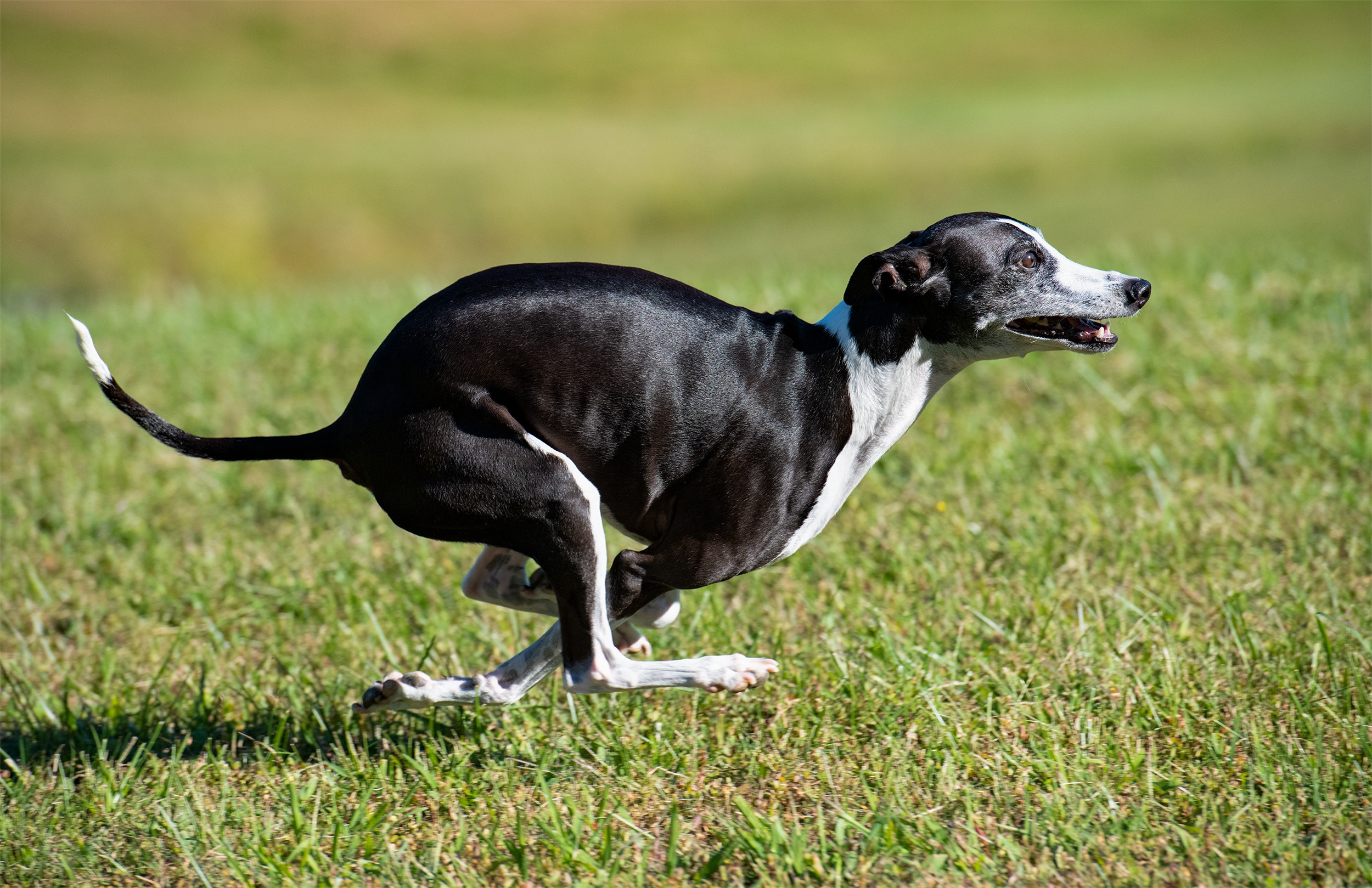 Zeppelin, an Italian greyhound, sprinting at full speed in mid air. Max speed of an Italian greyhound is 25 MPH.