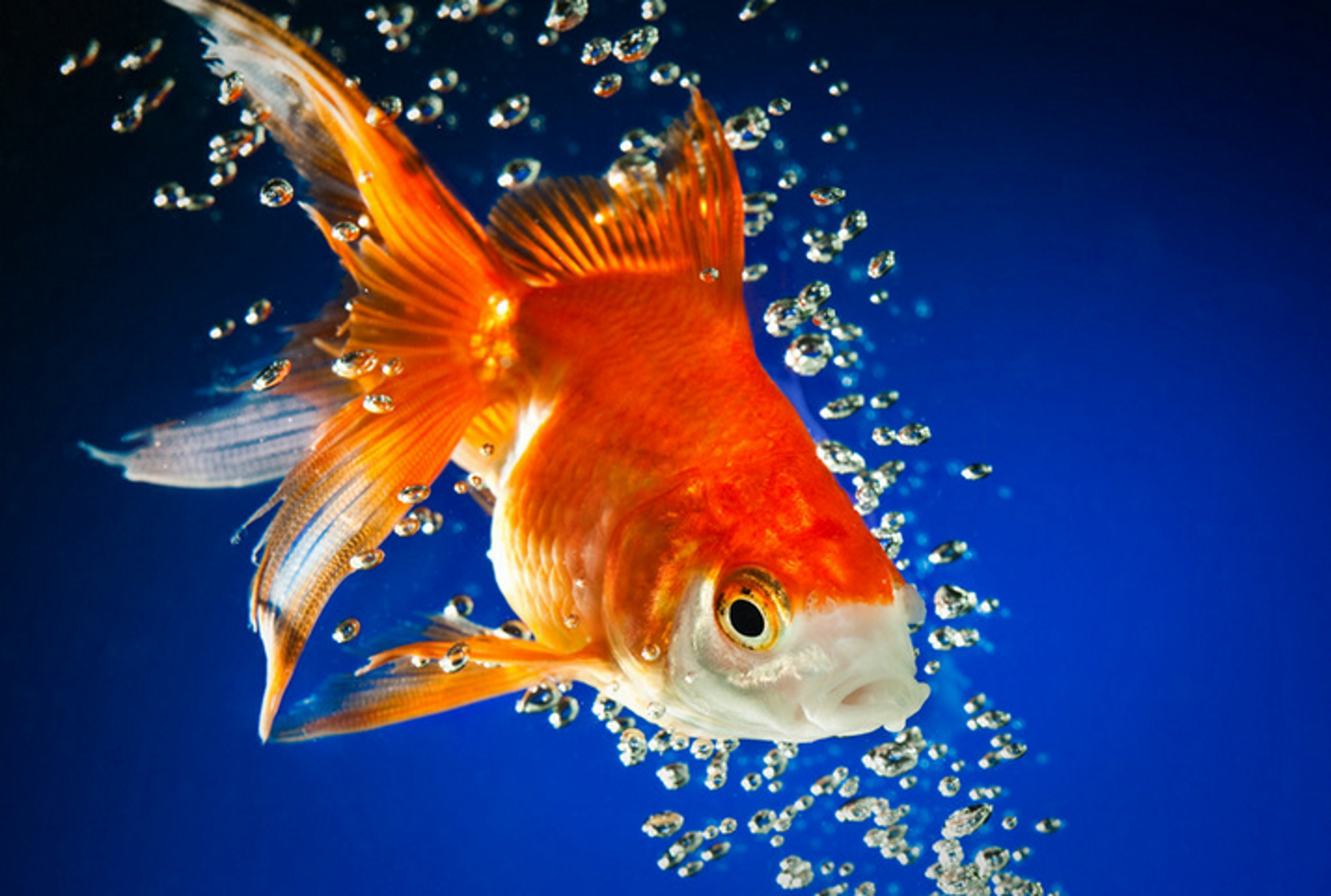 Photo of goldfish in water, surrounded by bubbles