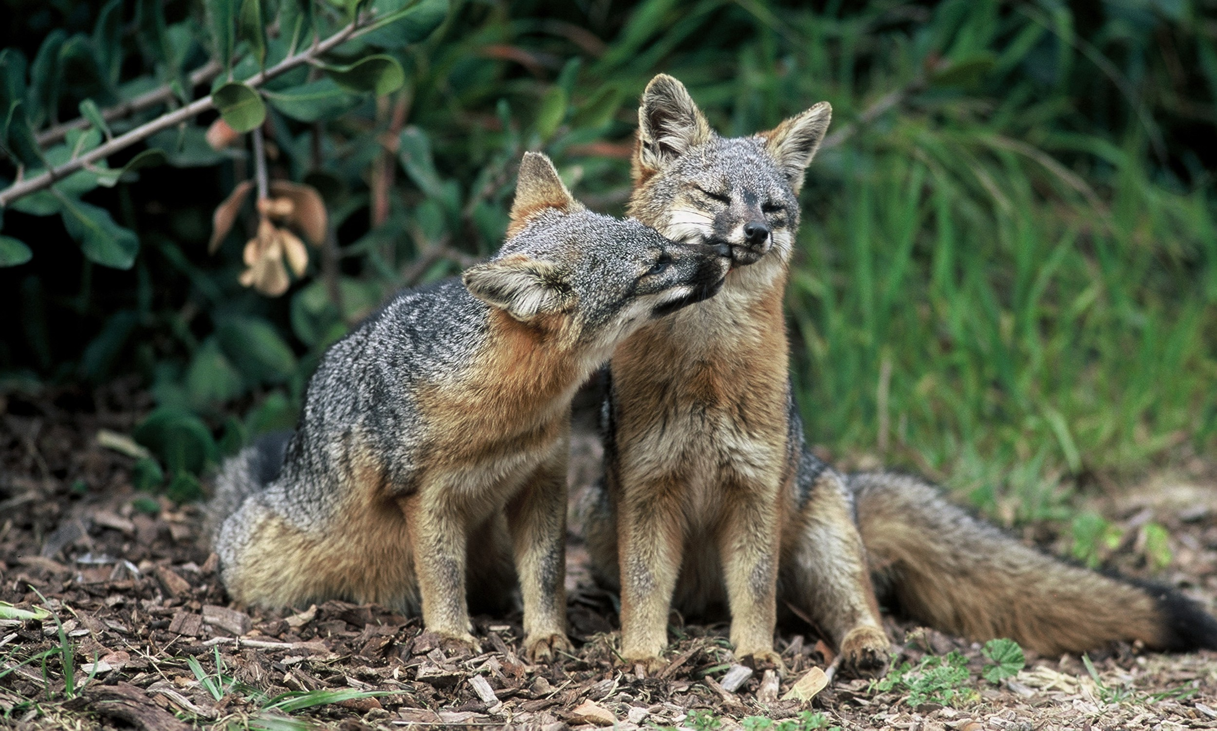 Image result for channel islands fox playful