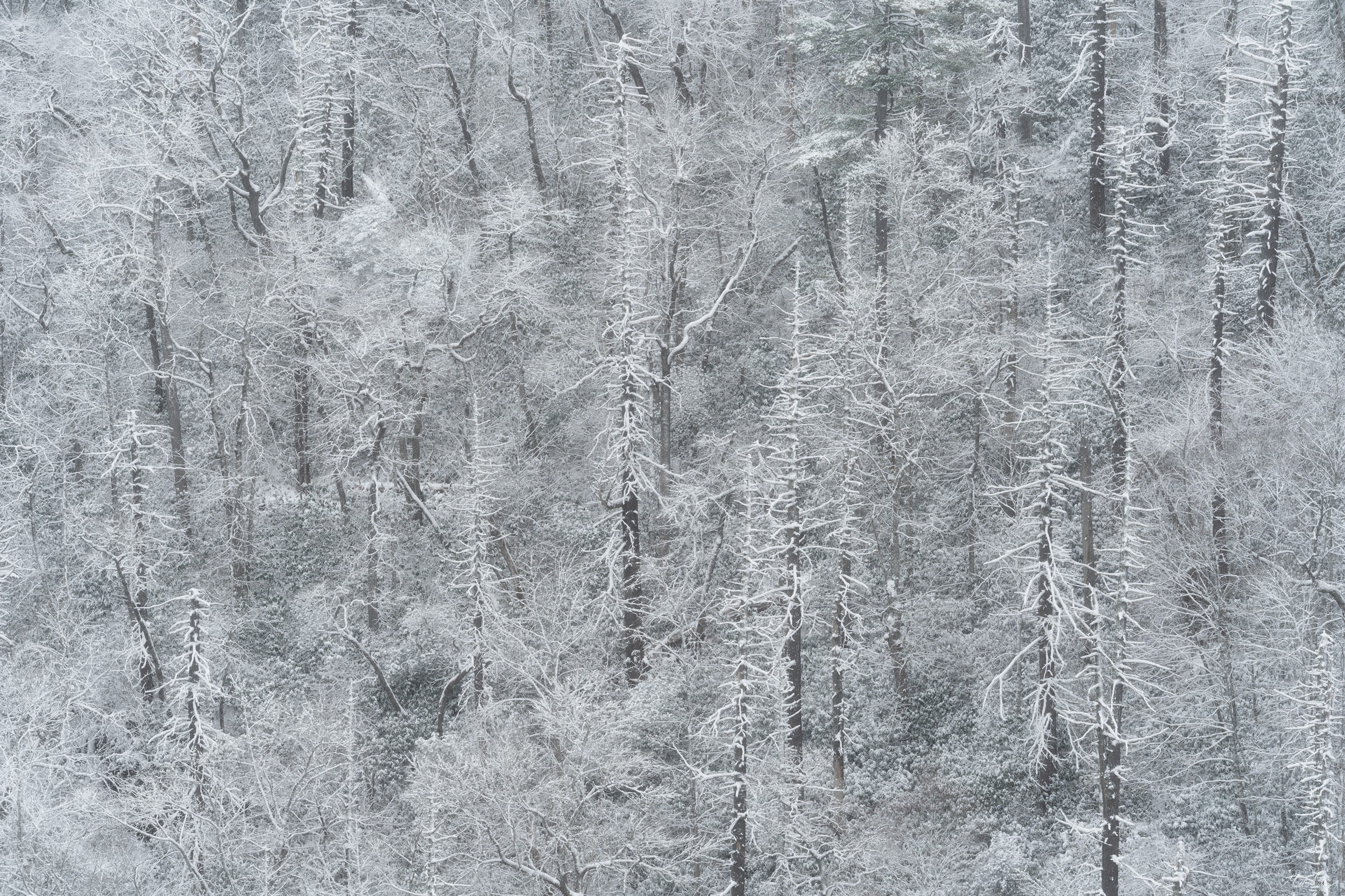 A dark stand of trees caked in snow after a winter storm.