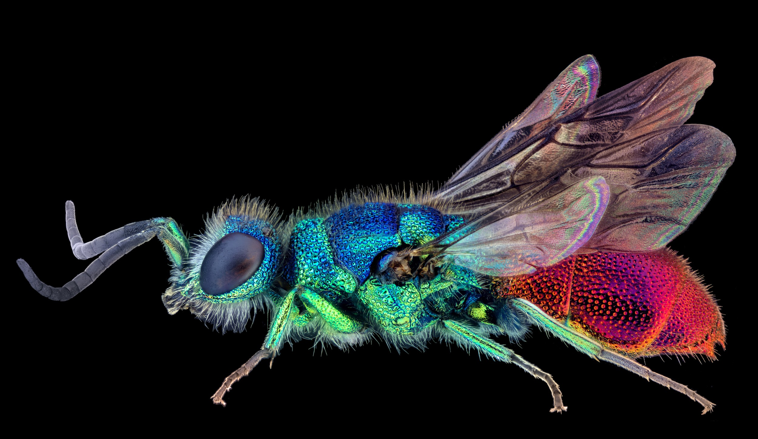 A very brightly colored fly-type bug includes shades of shiny, radiant blue, green, purple, and pink