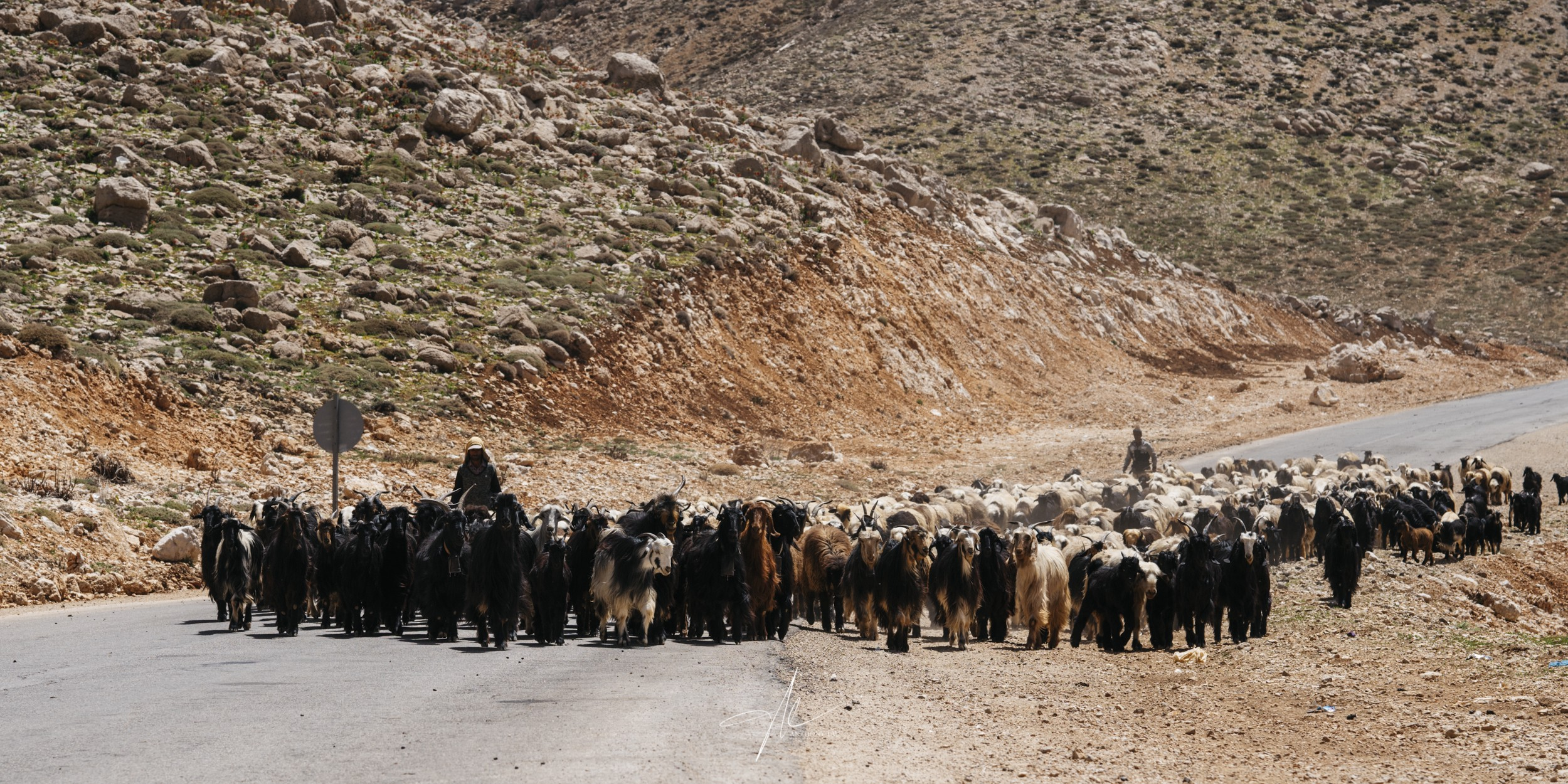 A massive flock of sheep and their Qashqai shepherds passing through the mountain highway.