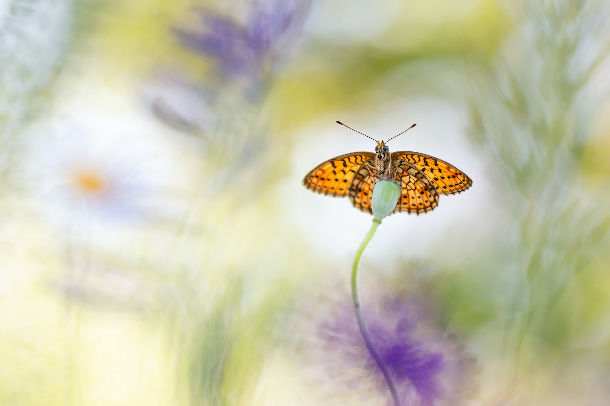 A beautiful orange butterfly is photographed very clear while hanging on a green bud, bright flowers in the back are blurry
