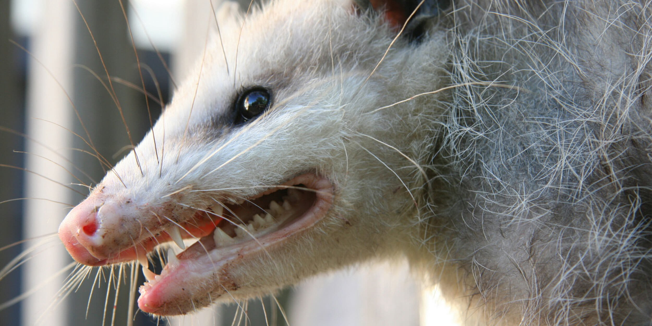 Playing Possum With A Real Live Possum By Marshall