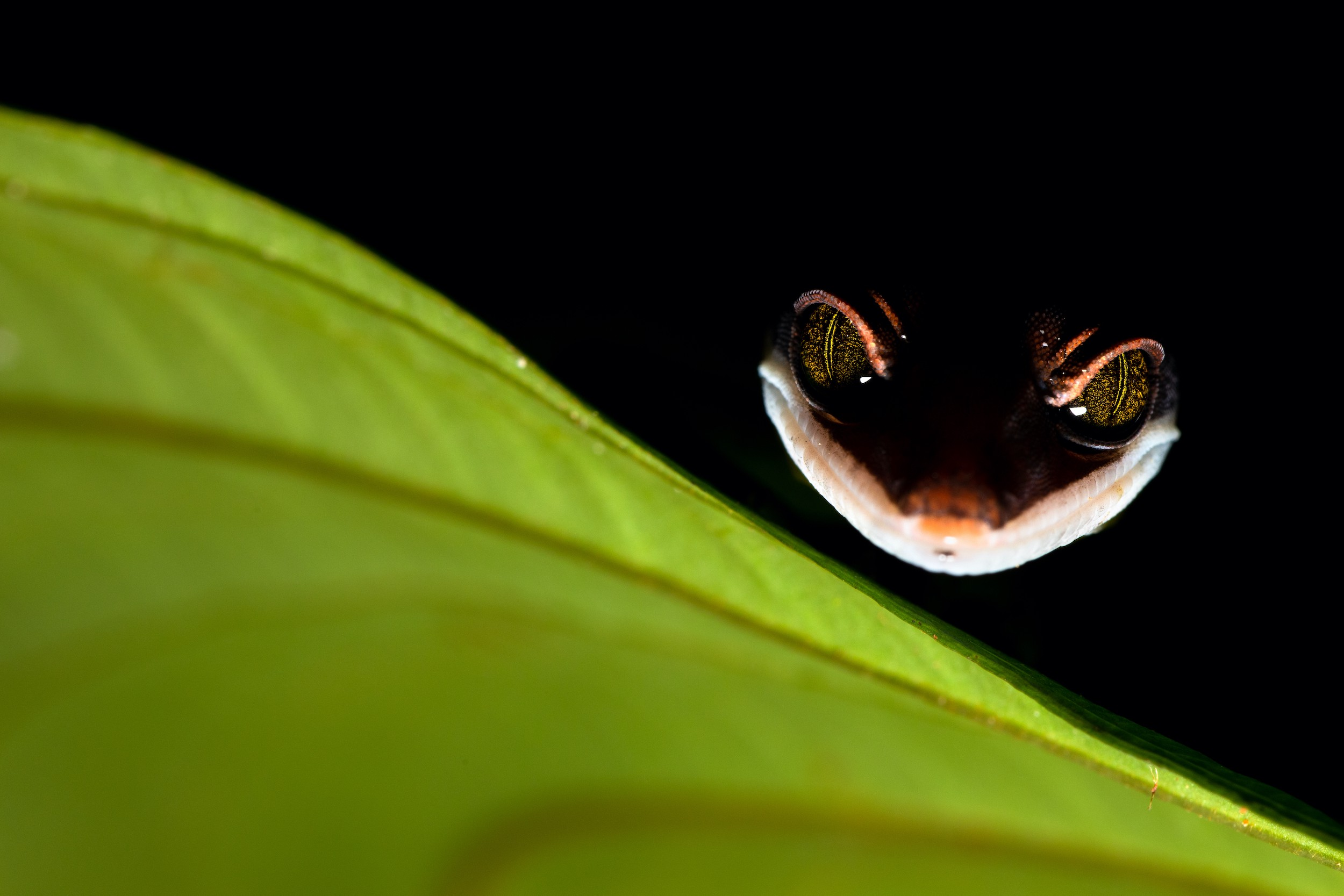 "A gecko ""smiles"" in the darkness behind a bright green leaf, his eyes sparkling with a mischievous air"