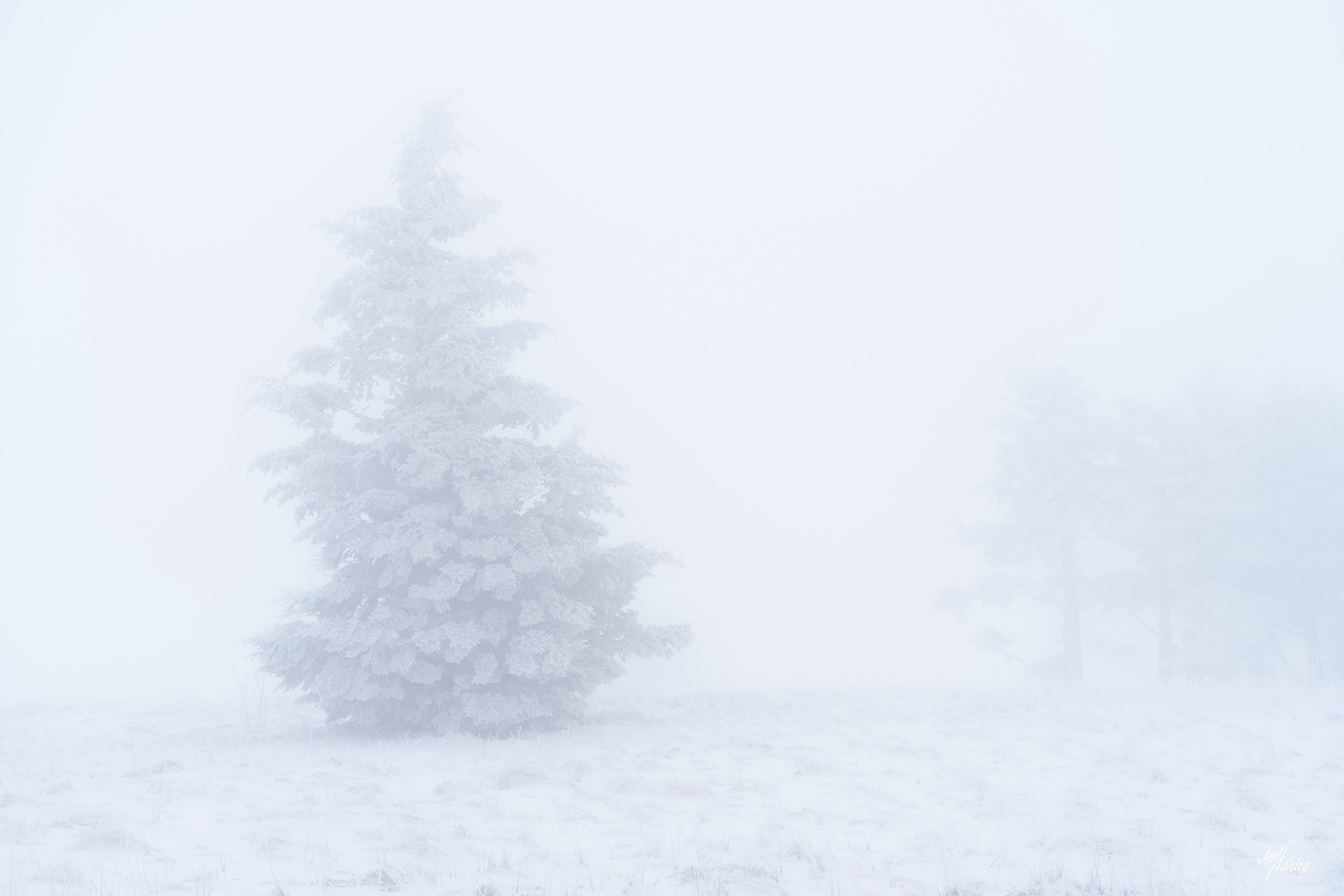 Snow covered pine tree in foggy, whiteout conditions.