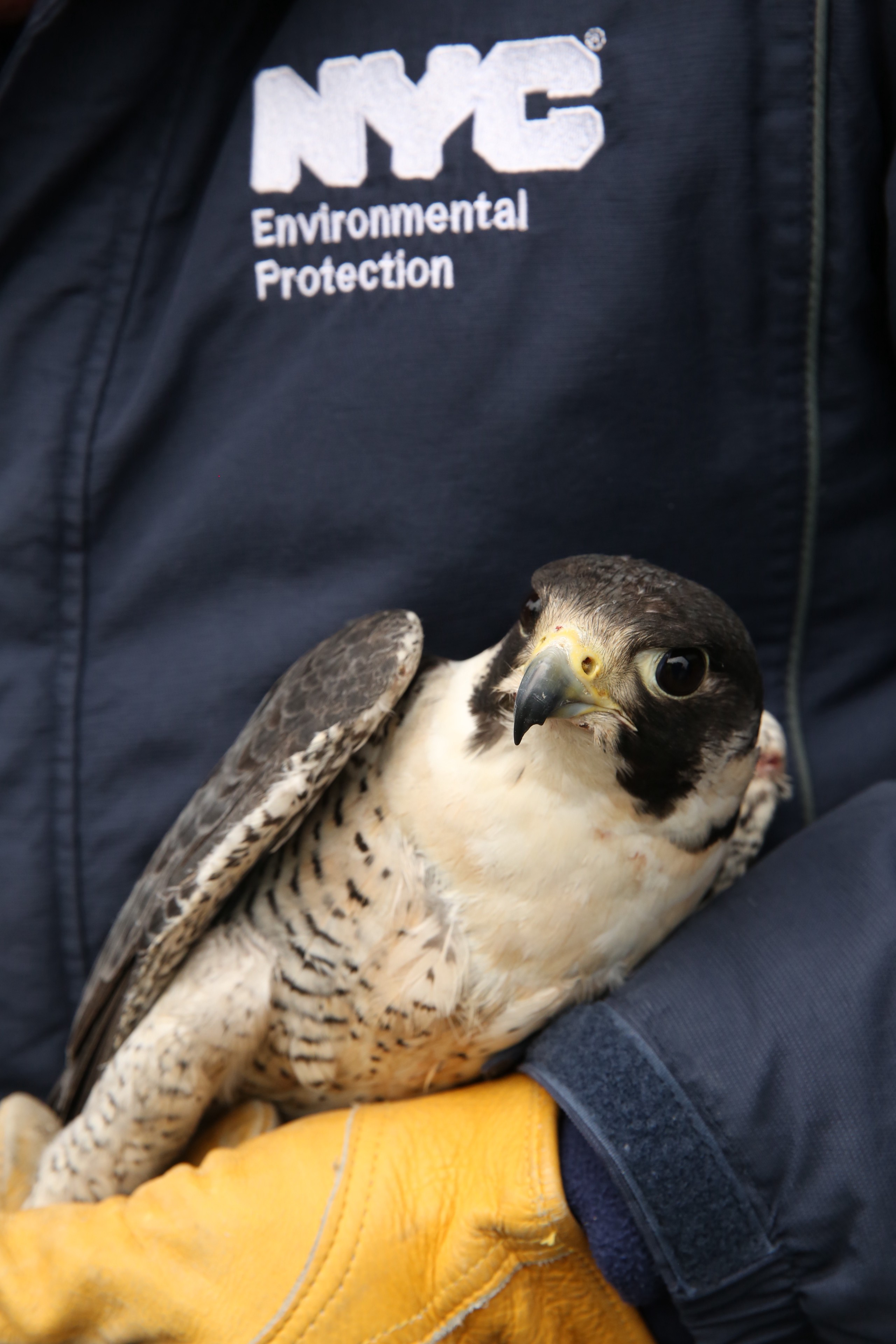 Falcons At Neversink Three New York State Endangered By Nyc Water Staff Nyc Water Medium