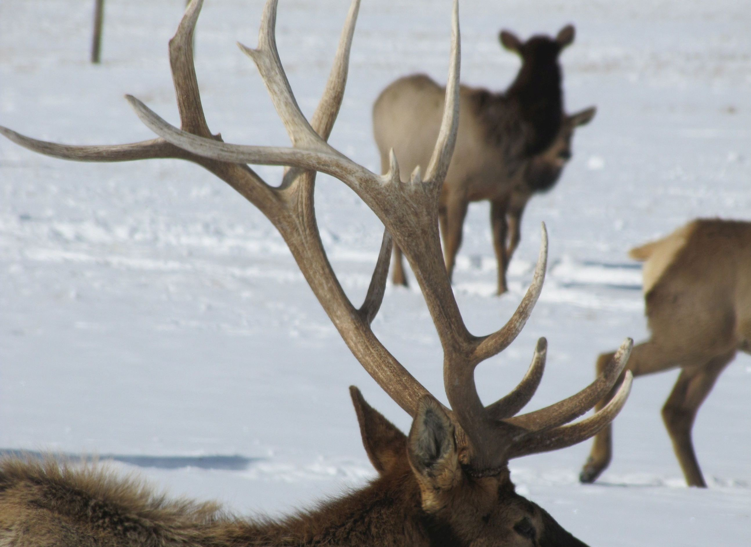 11 Facts About Antlers - Updates from the U S  Fish and