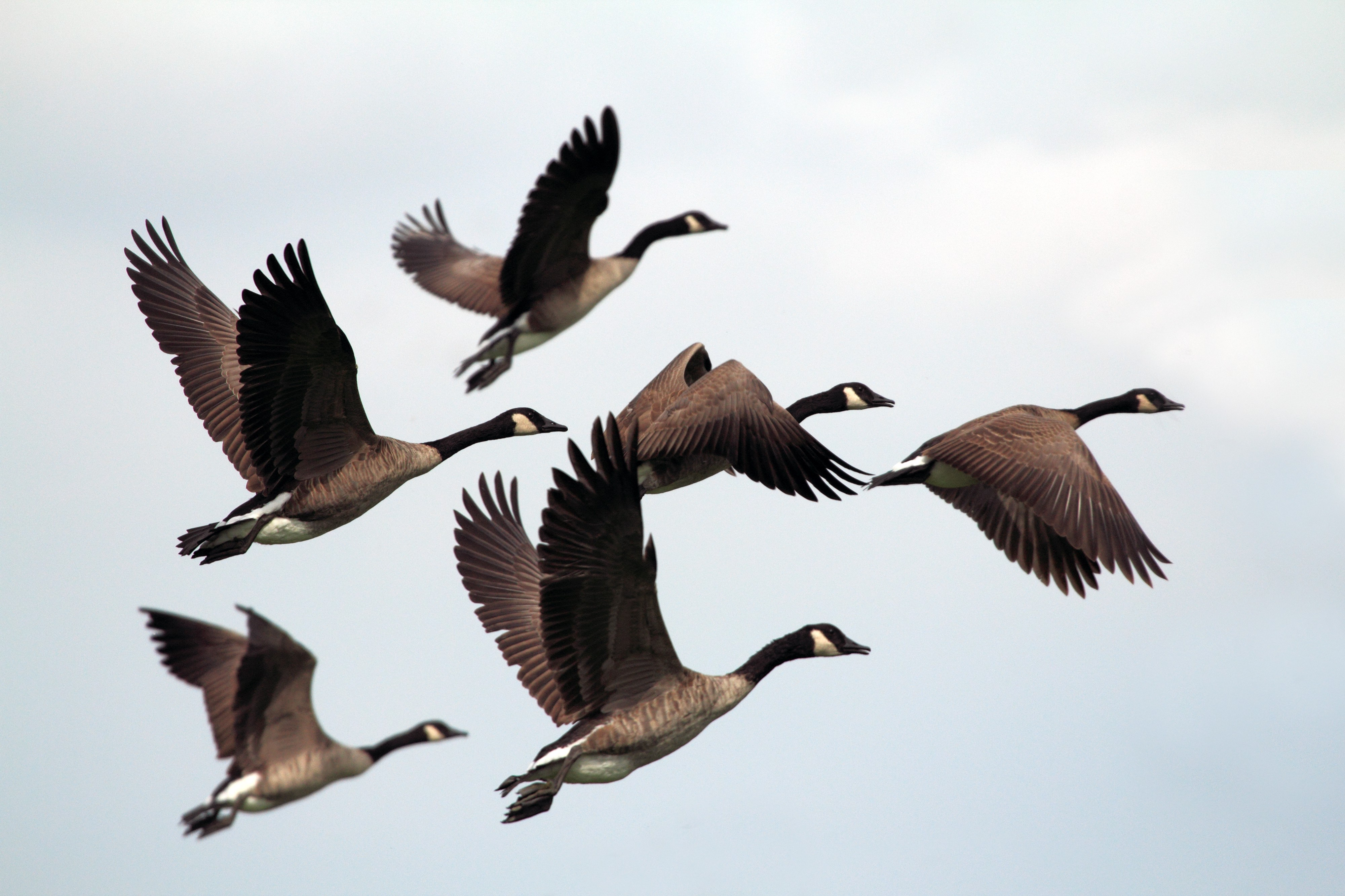 Seven Canada geese in flight together