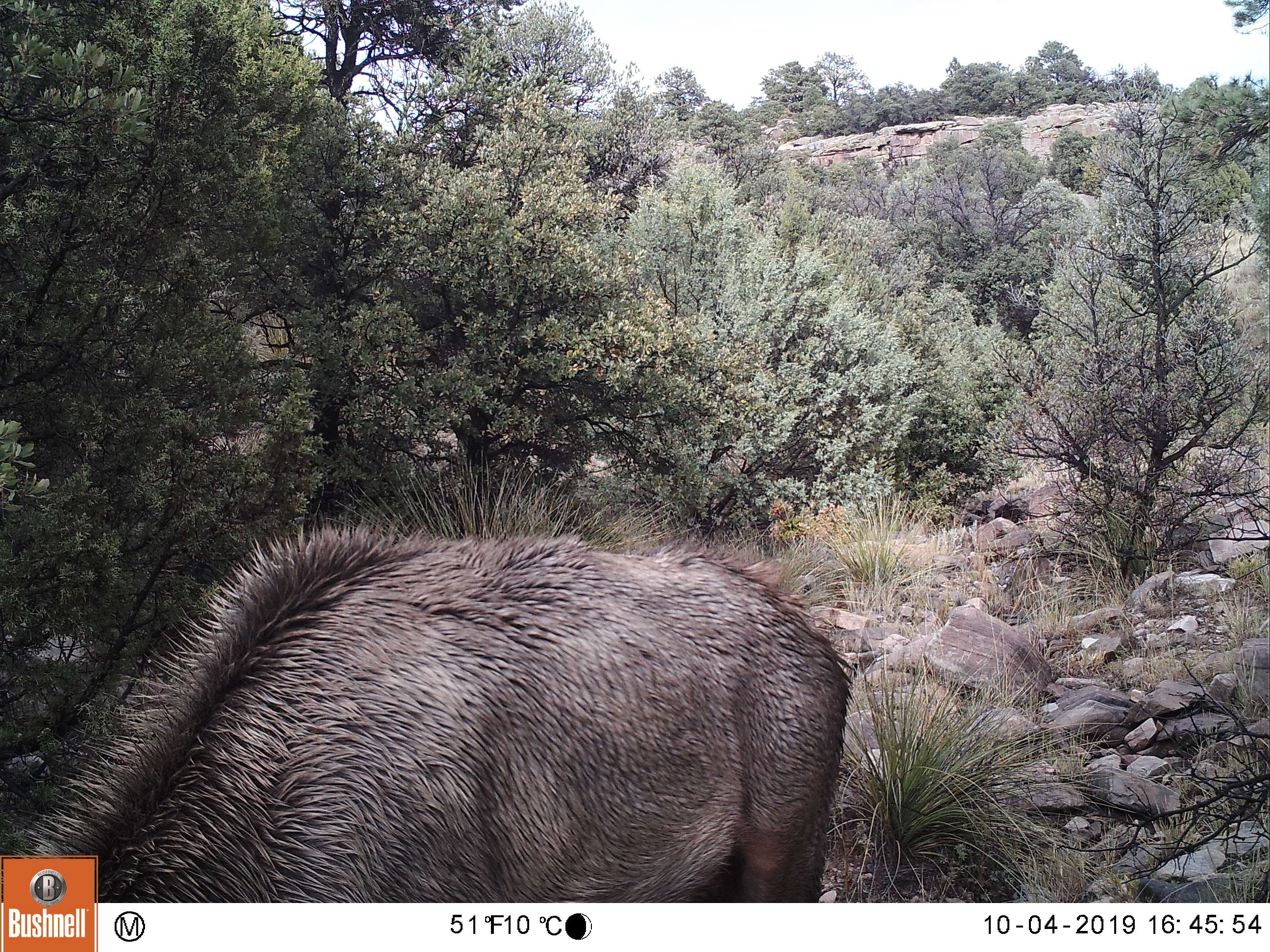 path with body of elk in foreground with mountain lion hiding near tree on right
