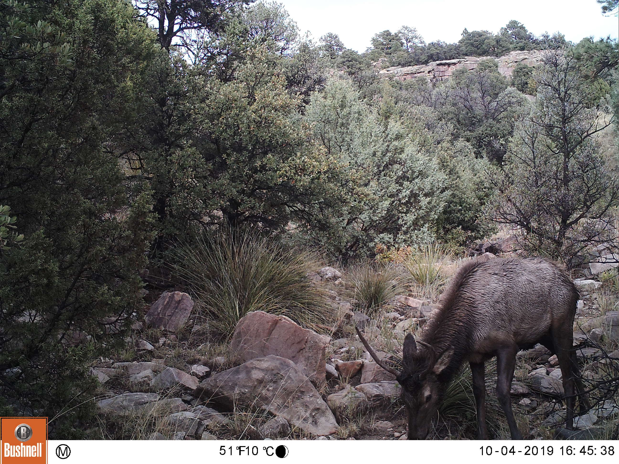 elk moves more toward middle of trail