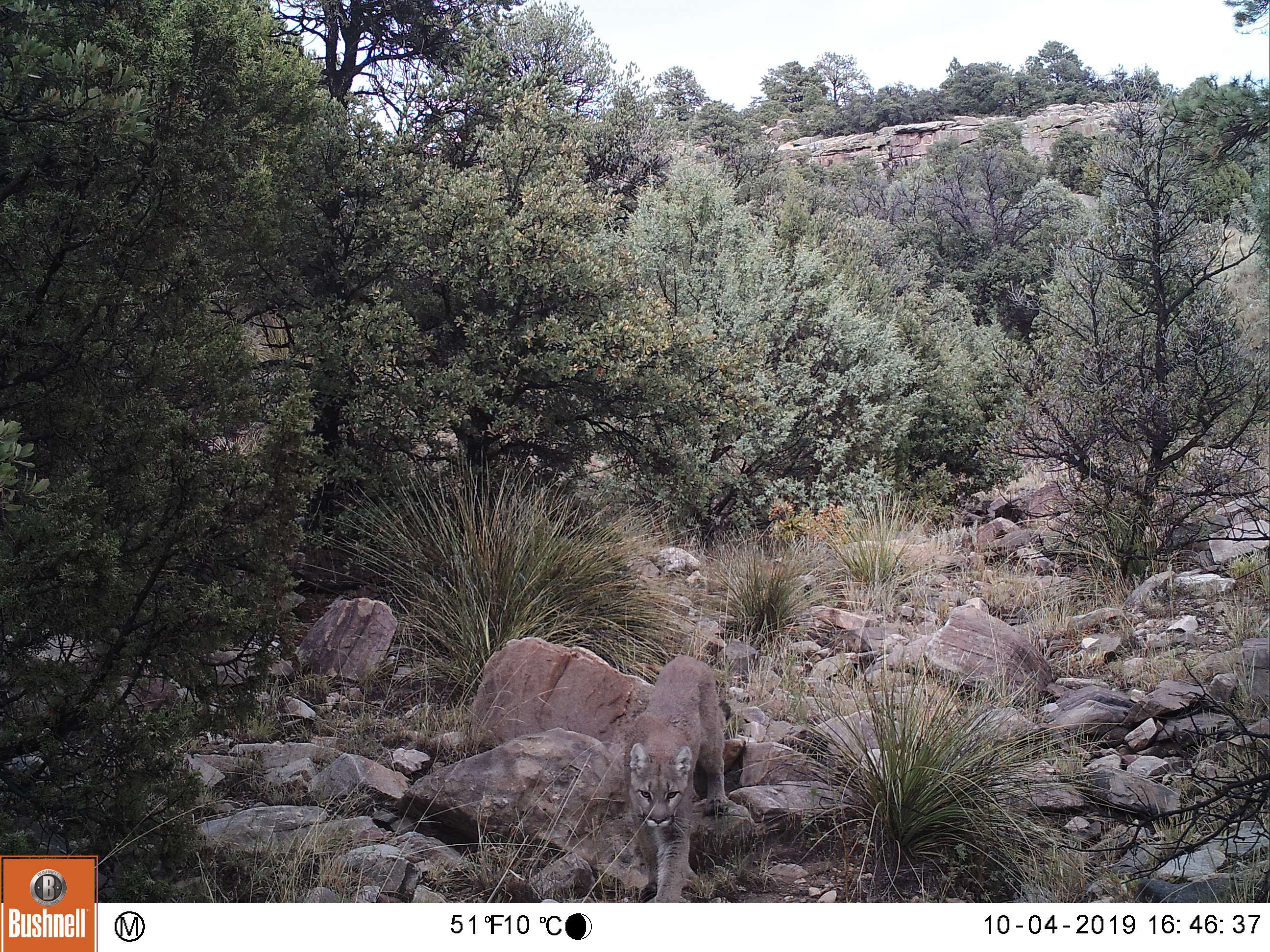 mountain lion in trail