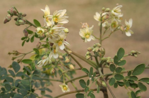 Moringa Seed and Constipation, Immune Booster, Lactating