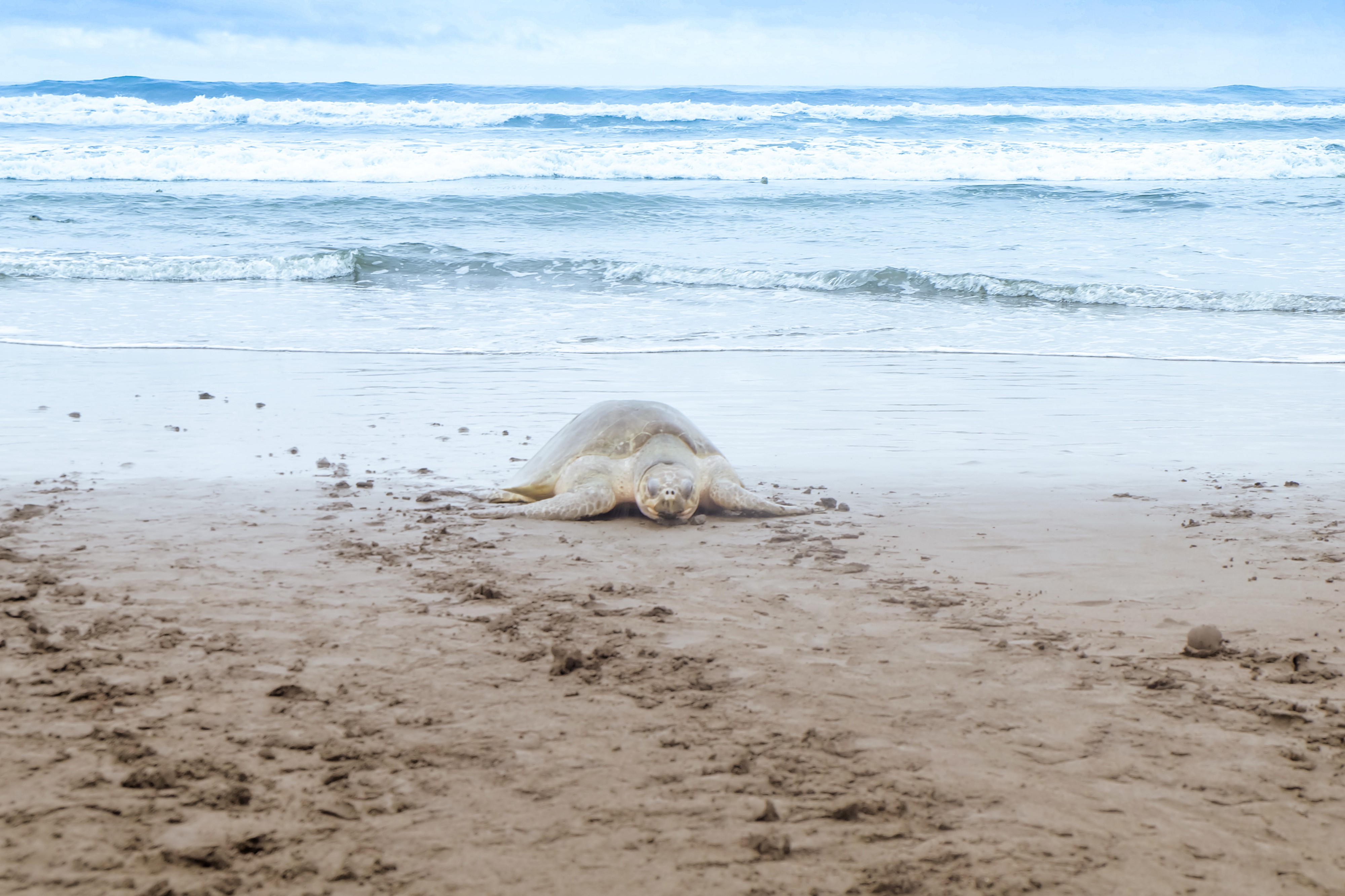 Sea Turtle Nesting In Costa Rica