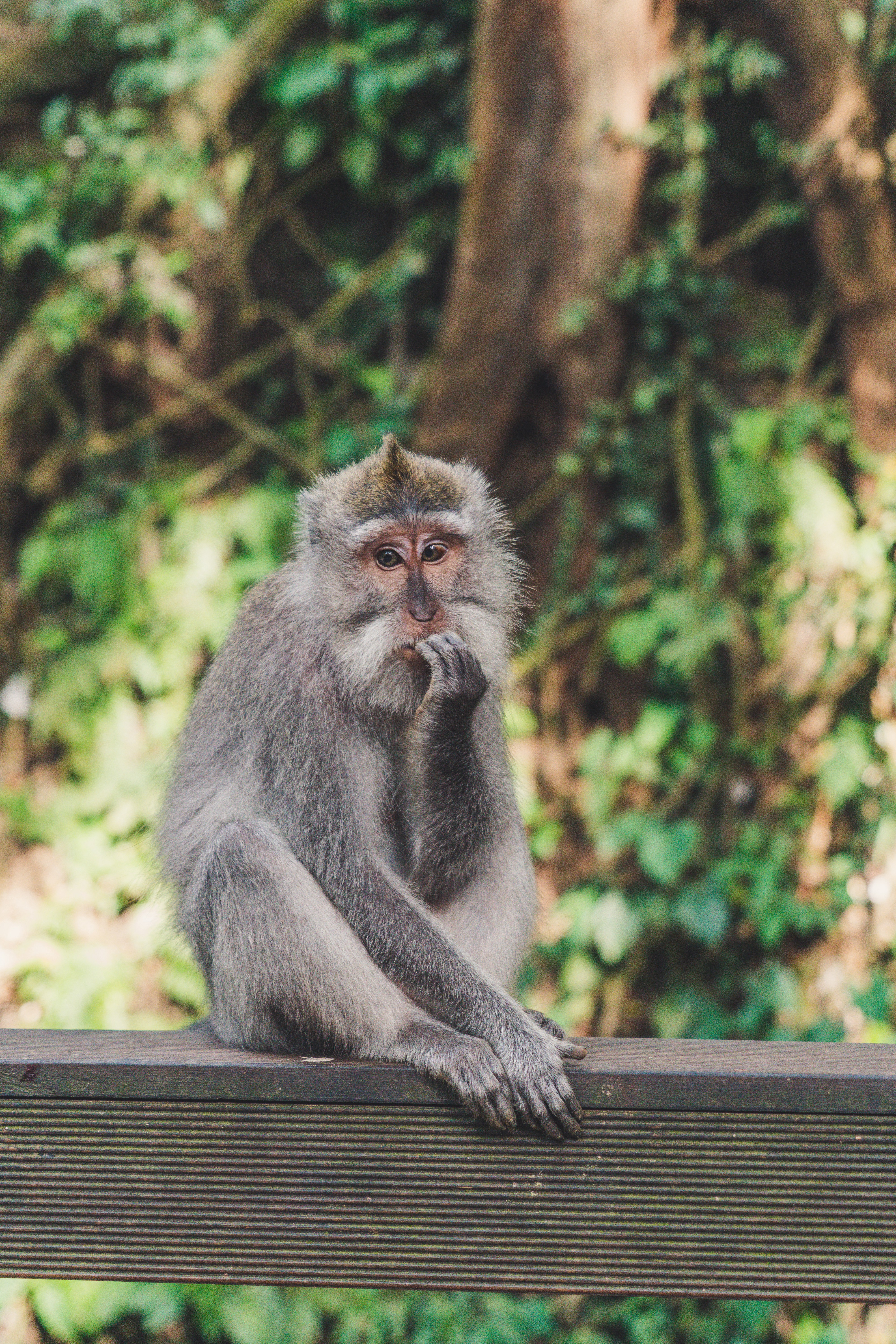 Macaque with contemplative expression in Bali's Ubud Monkey Forest Sanctuary