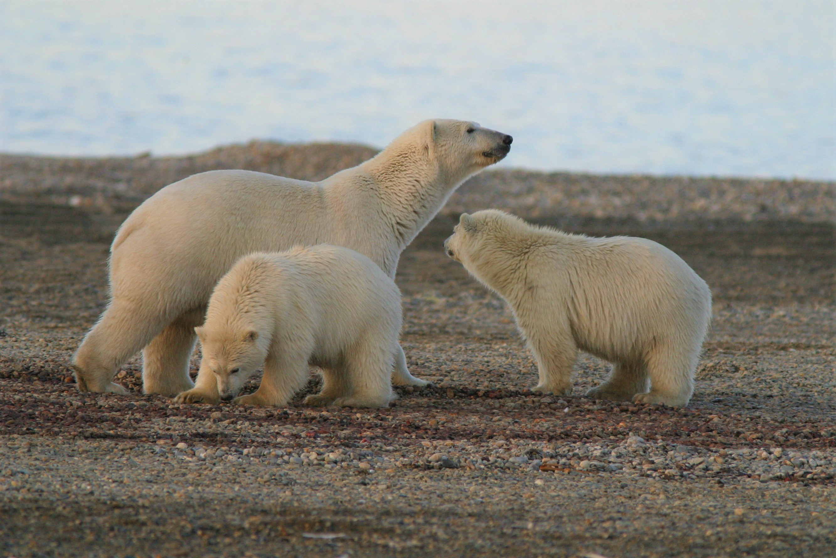 An adult polar bear with two large cubs on the bare gravel of a barrier island.