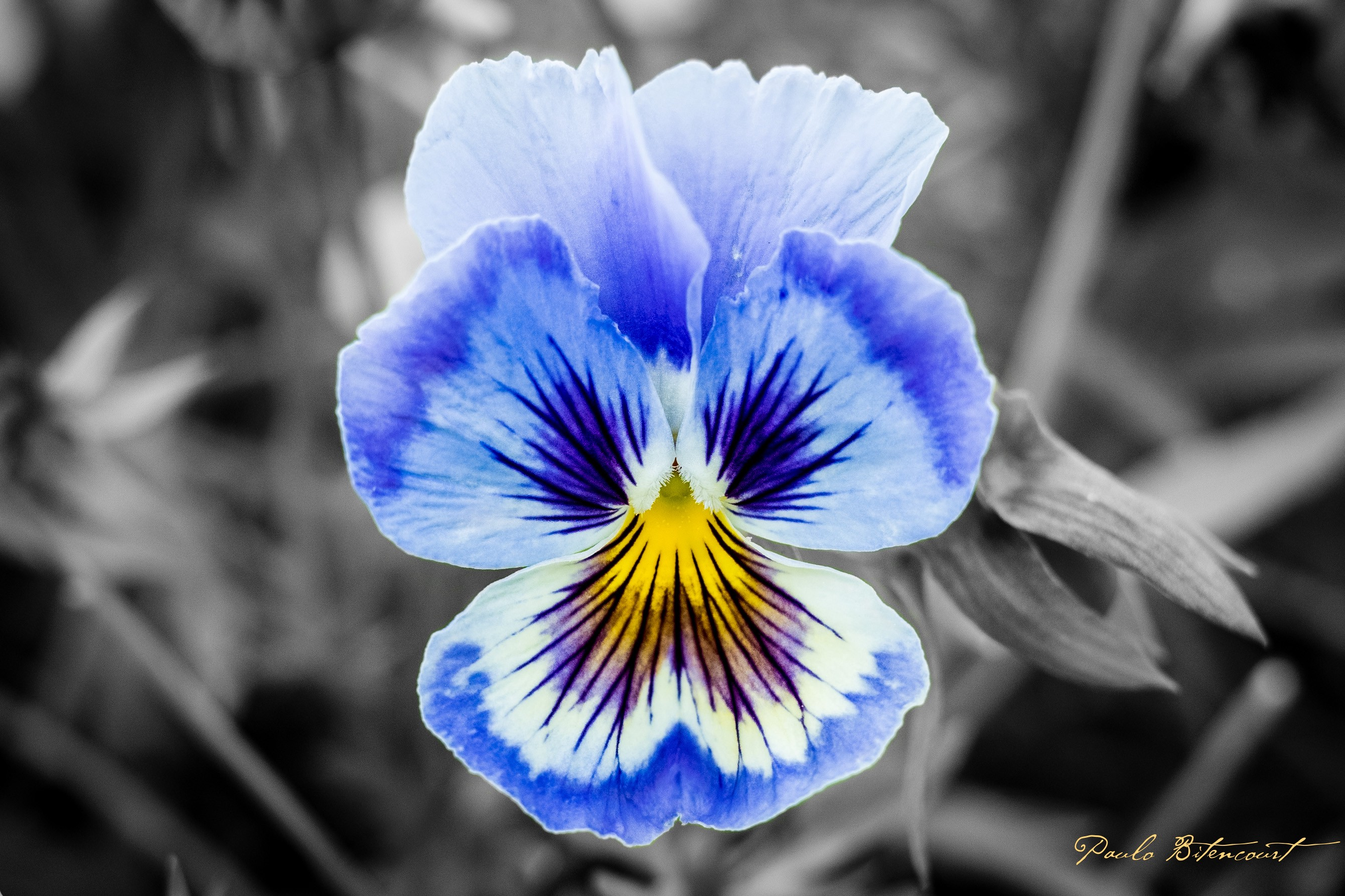 Pansy, the symbol of Freethought (© Paulo Bitencourt)