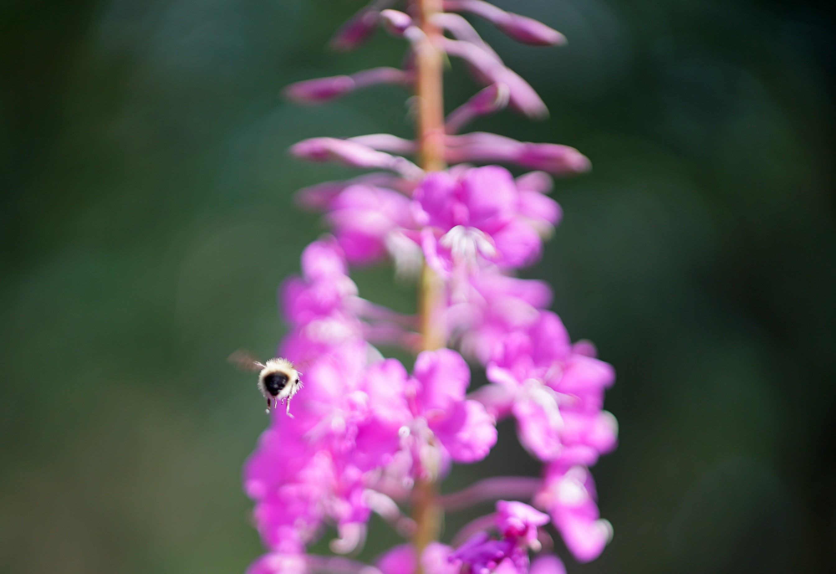 a bumble bee flying away from a purple flower