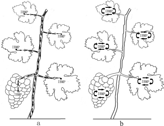 A diagram shows two hypotheses for how IBMP originates (one in the leaves and one in the berries).